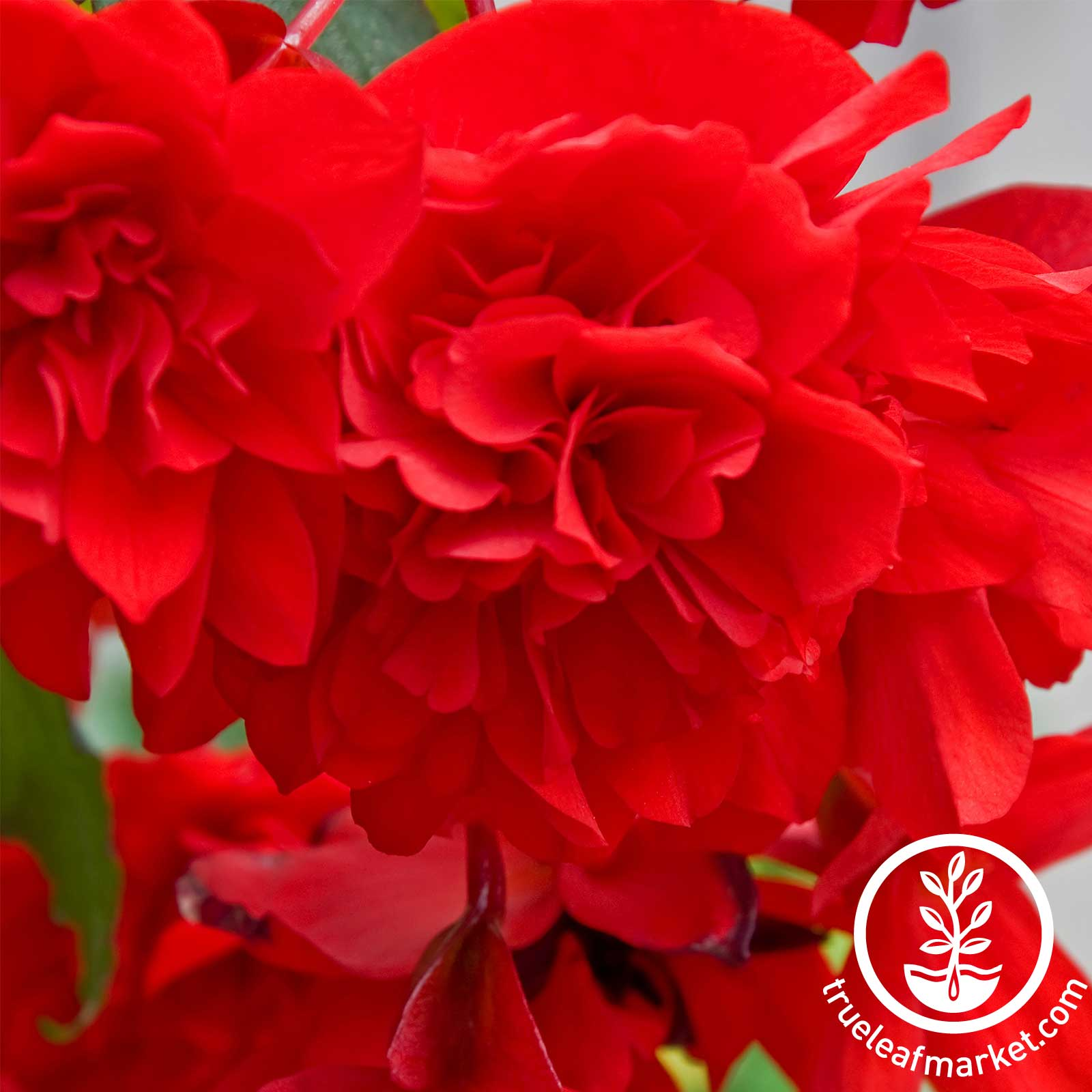 Begonia Tuberous Breezy Series Red Seed