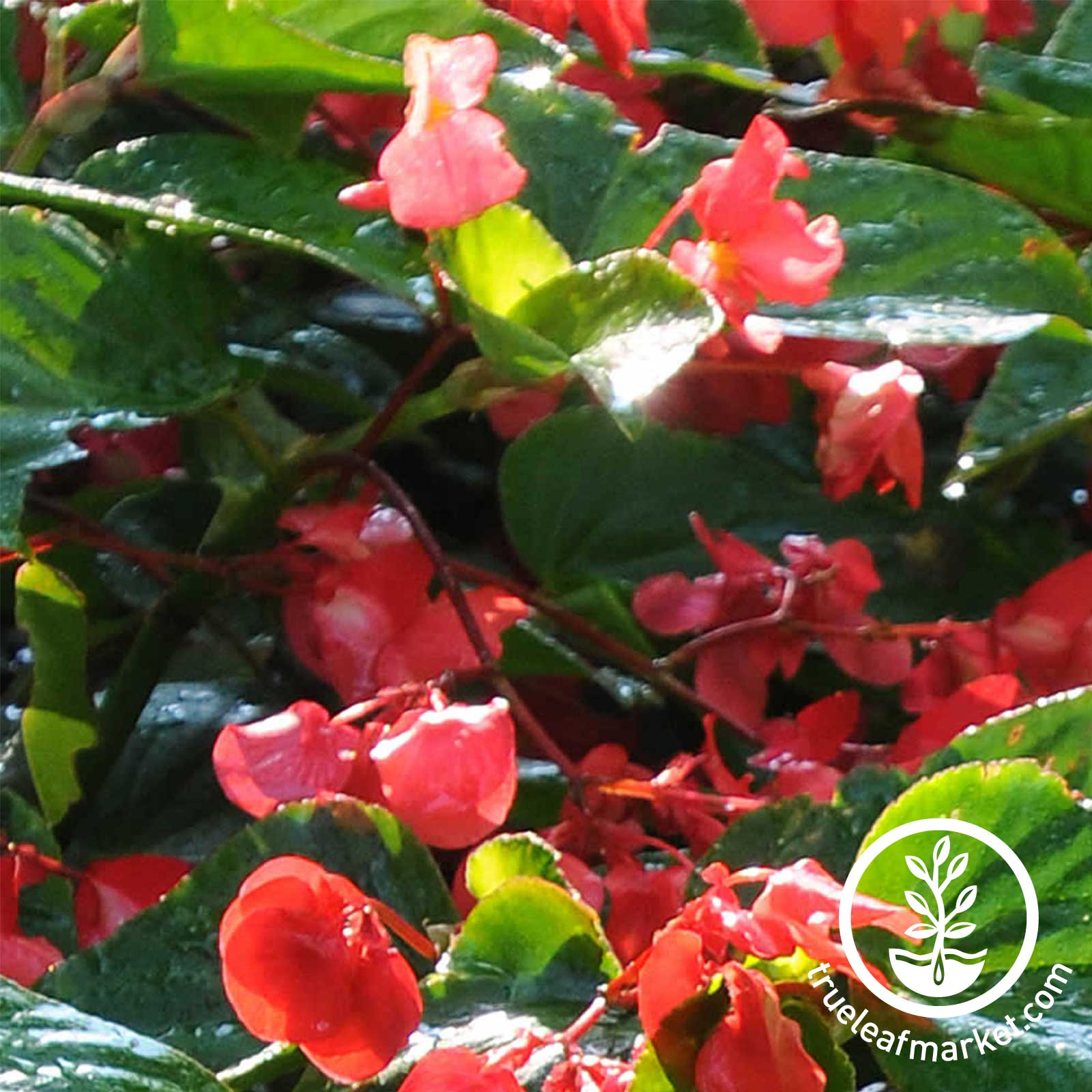 Begonia Angelwing Dragon Wing Red Seed