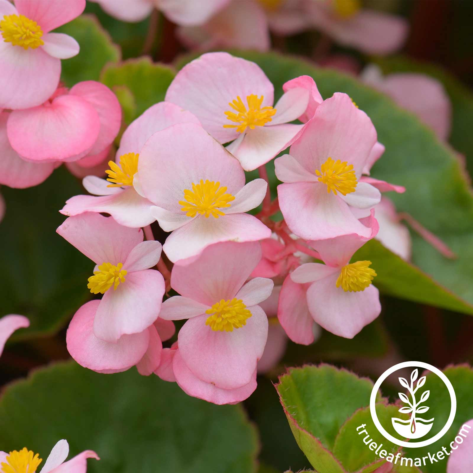 Begonia - Fibrous - Cocktail Series (pelleted) - Brandy (light pink)