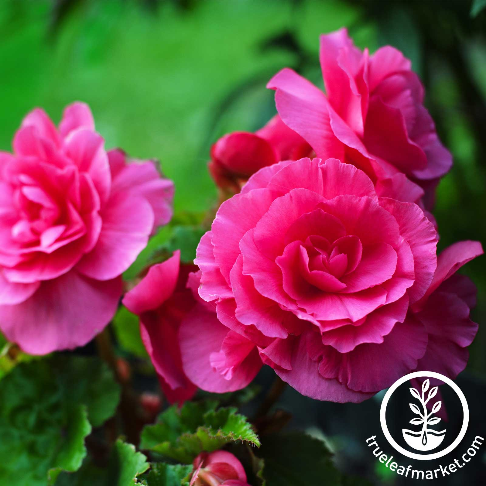 Begonia - Tuberous - Nonstop Series - Deep Rose (pelleted)
