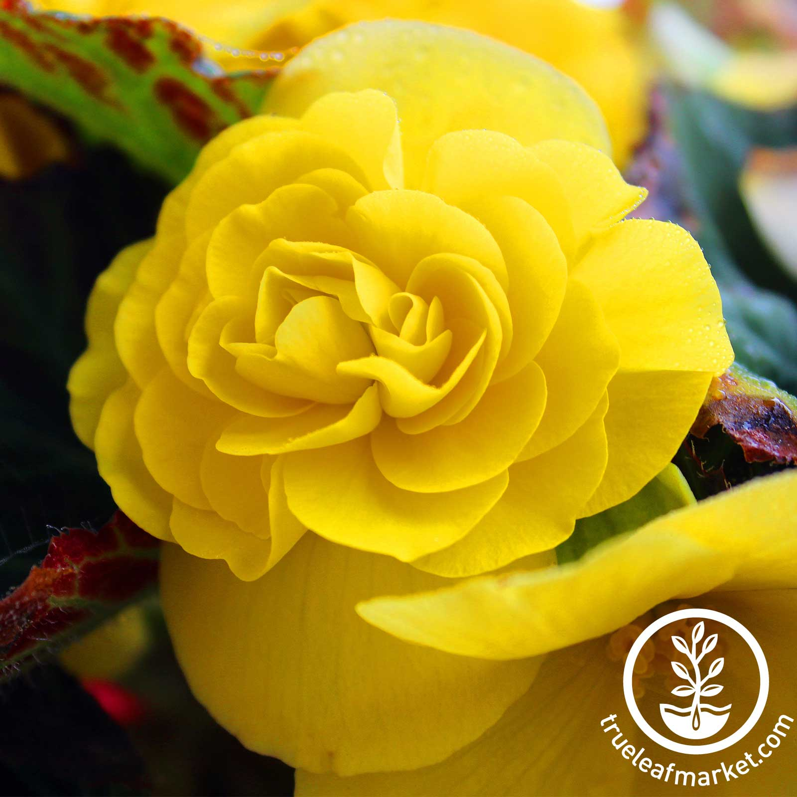 Begonia - Tuberous - Nonstop Series - Mocha Yellow (pelleted)