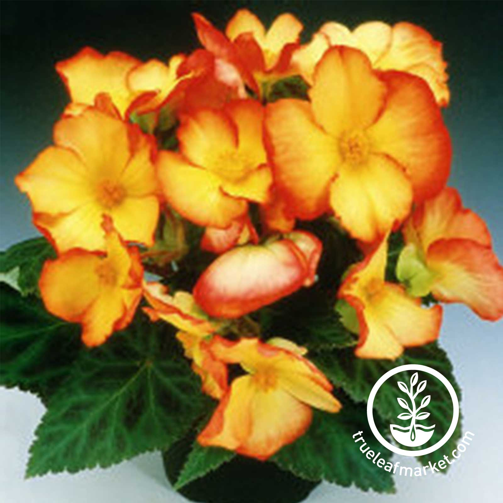 Begonia Tuberous Pin Up Flame Seed
