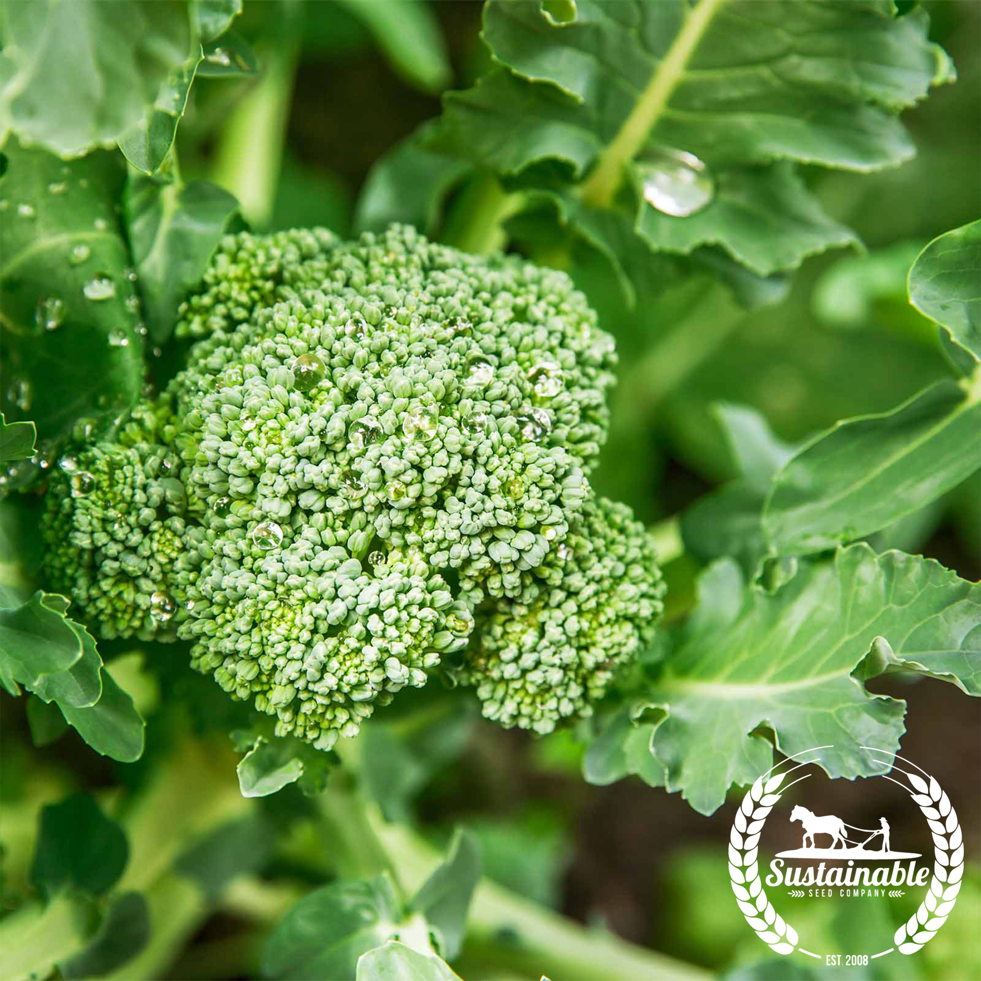 Di Cicco Organic Broccoli Seeds