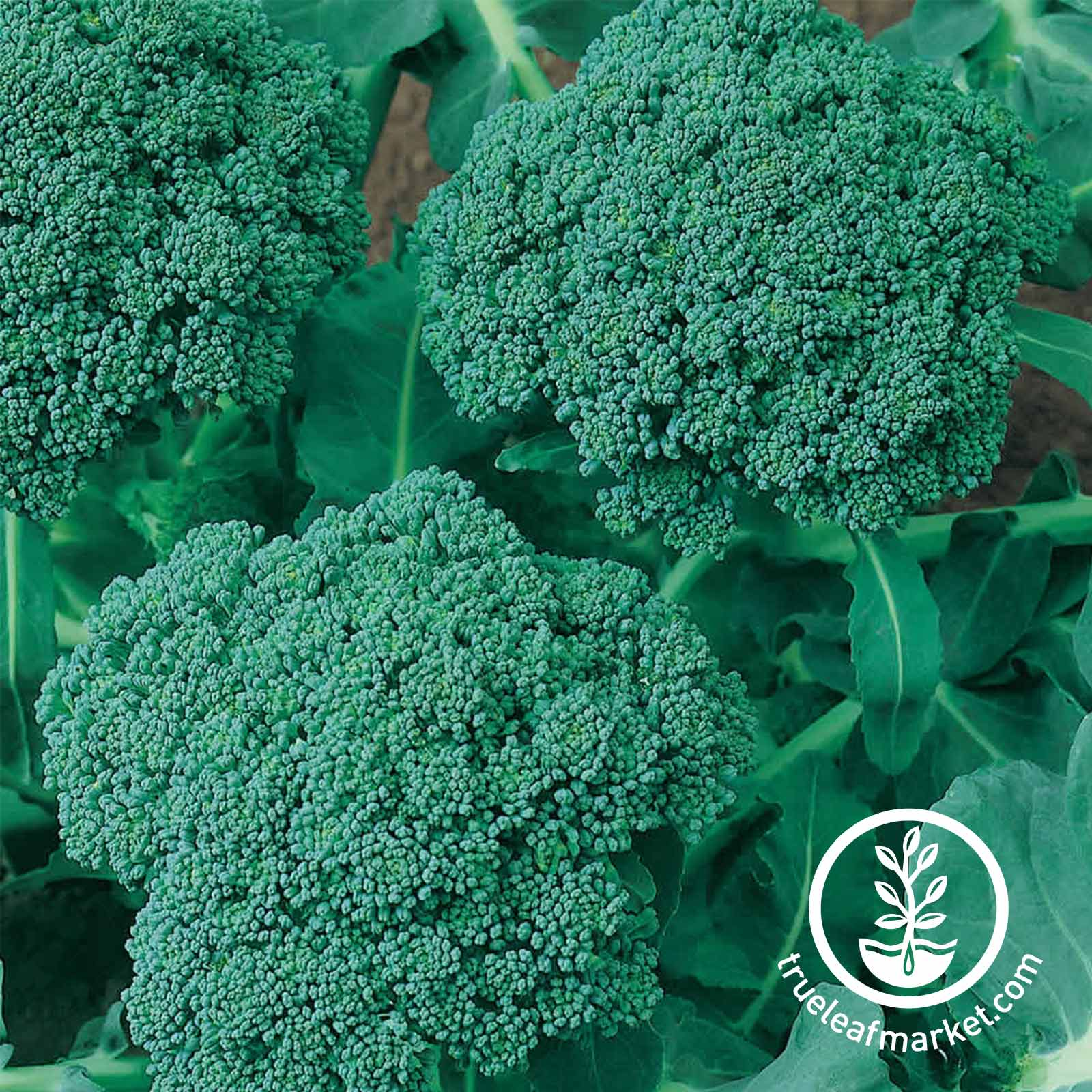 Broccoli Waltham 29 Vegetable Seed