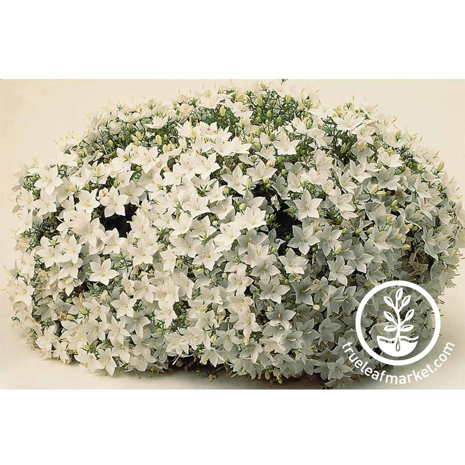 Campanula Clips Series White Flower Seed