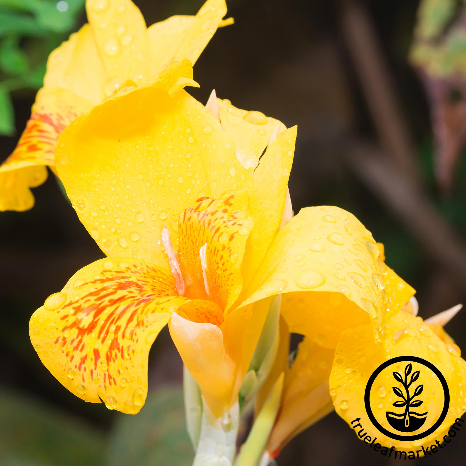 Canna - Tropical Series - Yellow