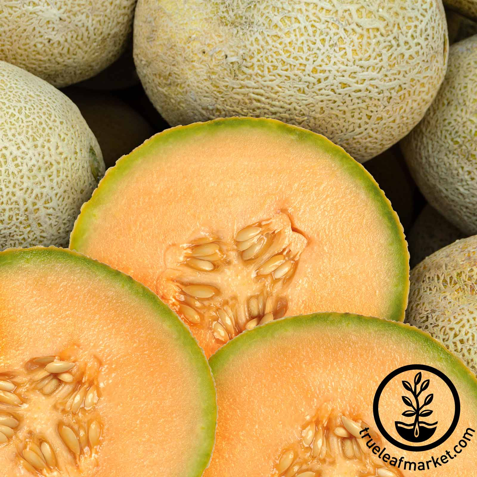how to grow sweet melon from seed