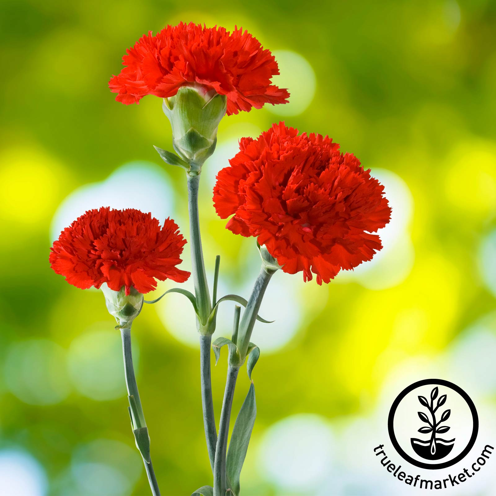 Carnation CanCan Scarlet Flower Seed