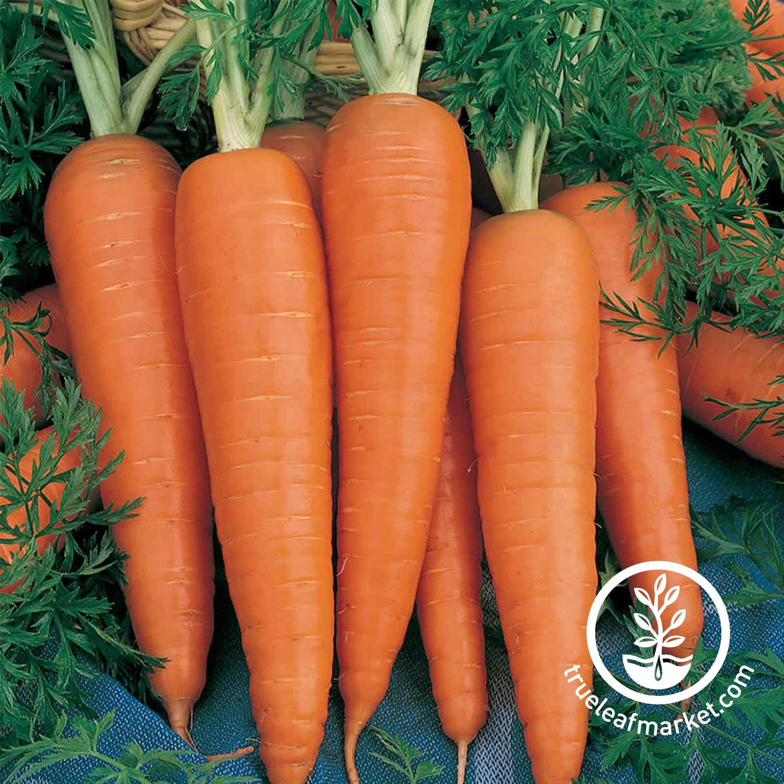 Carrot Danvers 126 Vegetable Seed