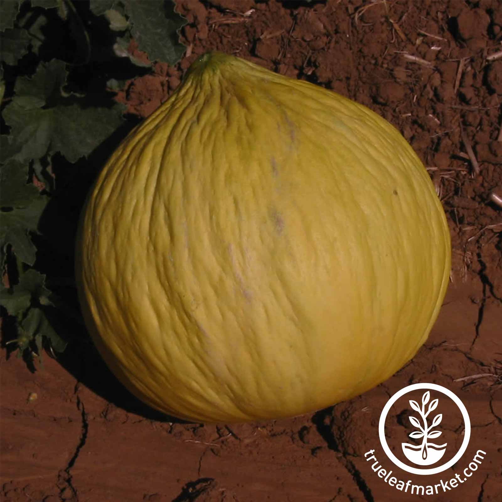 Melon Casaba Golden Beauty Seed