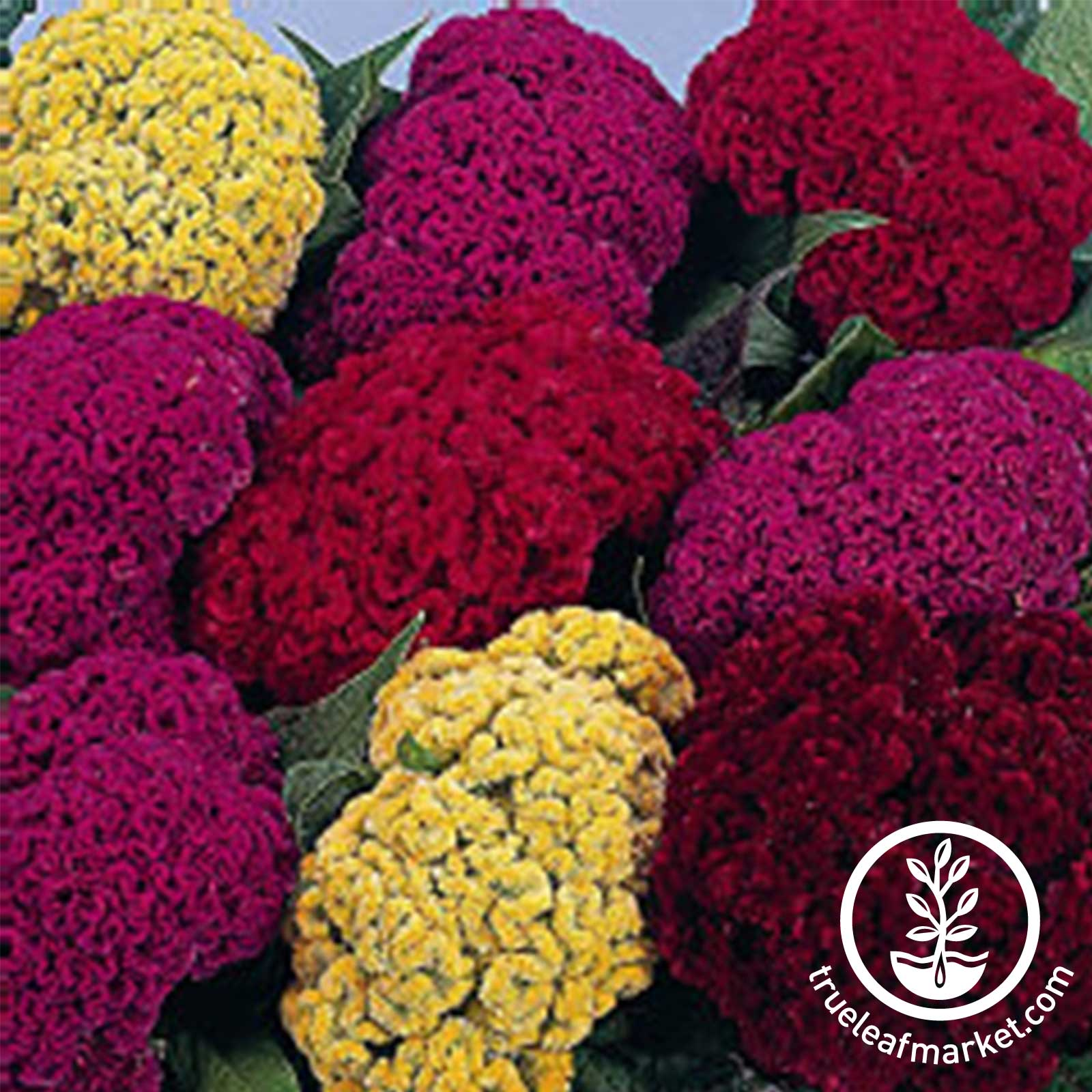 Celosia Crested Amigo Mix Seed