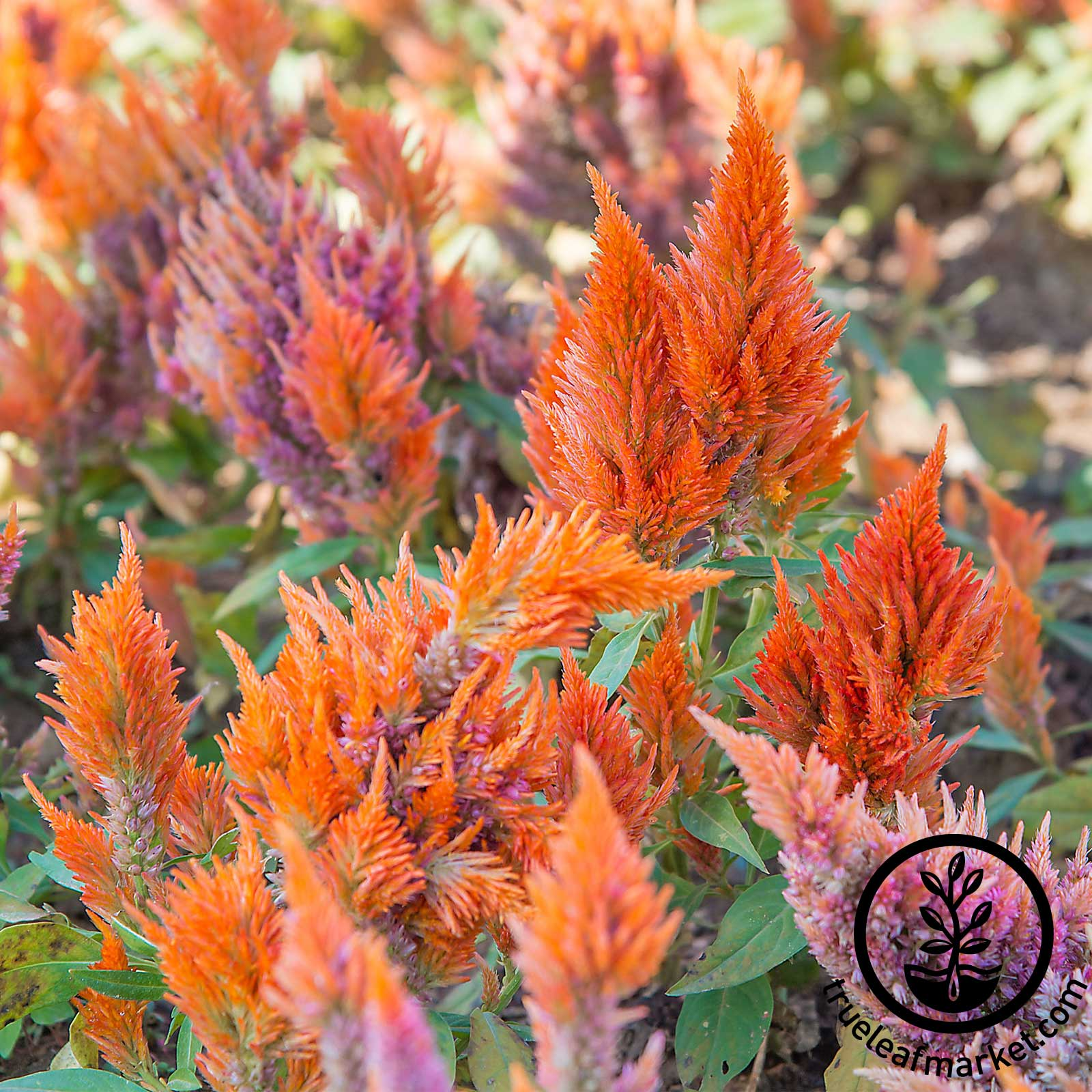Celosia Plumed Fresh Look Series Orange Seed
