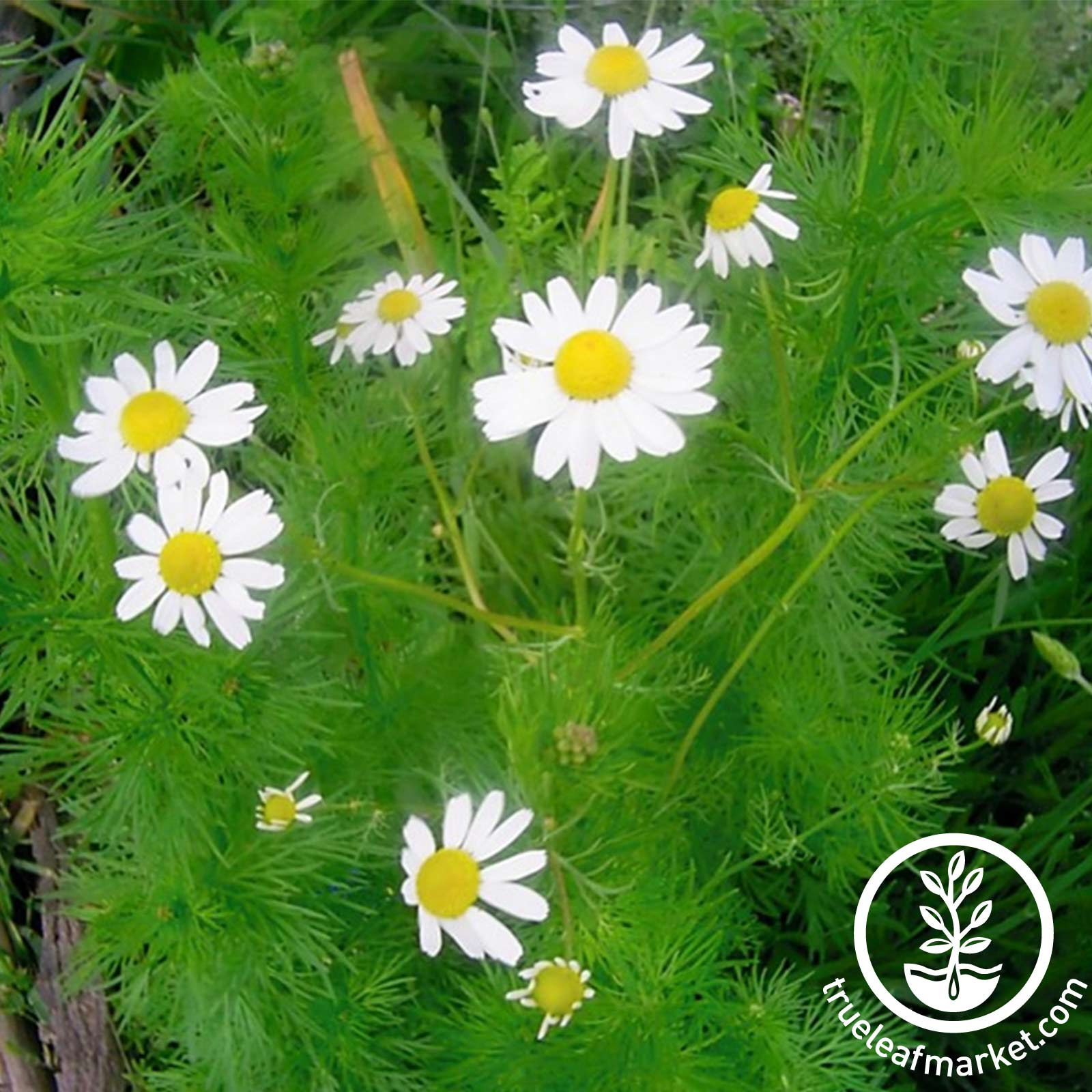 German Chamomile Herb