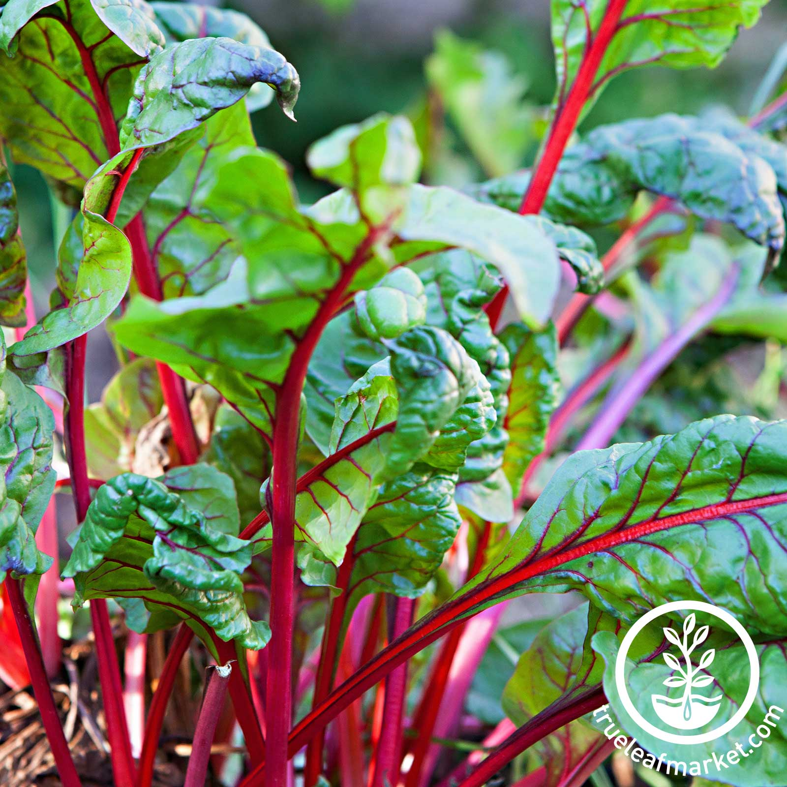 Swiss Chard - Rhubarb Vegetable seeds, swiss chard seeds, Rhubarb