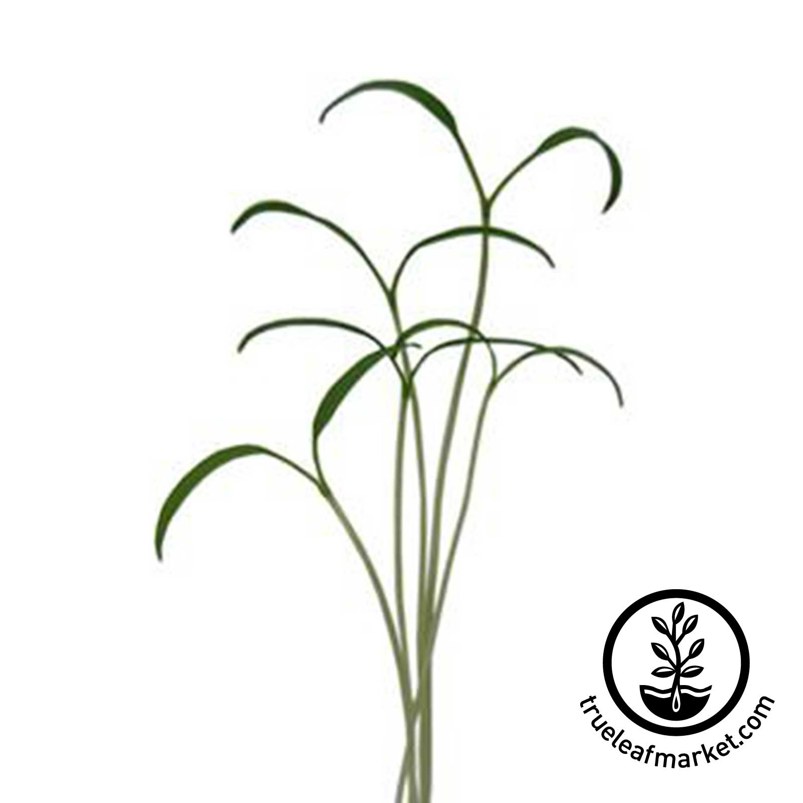 Chervil - Curled Microgreens Seeds - GMG-01165P