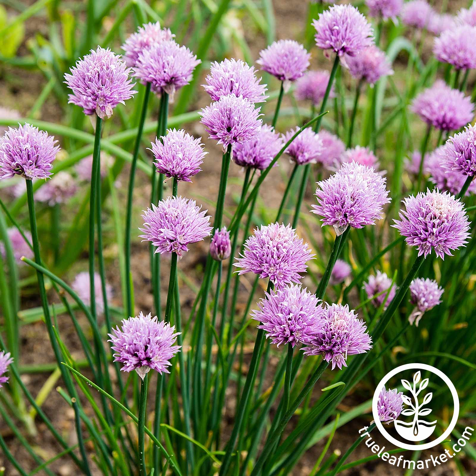 Chives - Organic