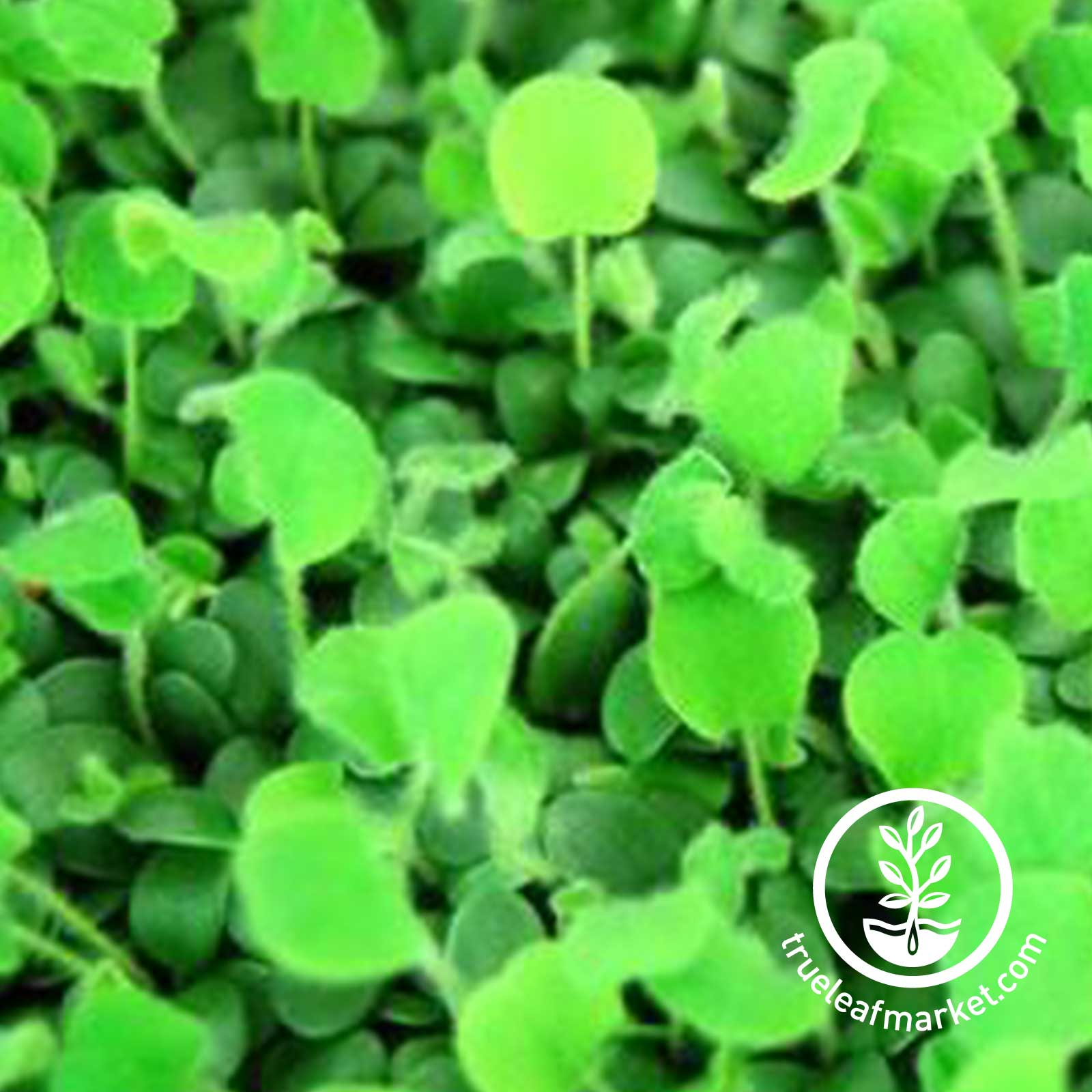 Close up of Red Clover Greens