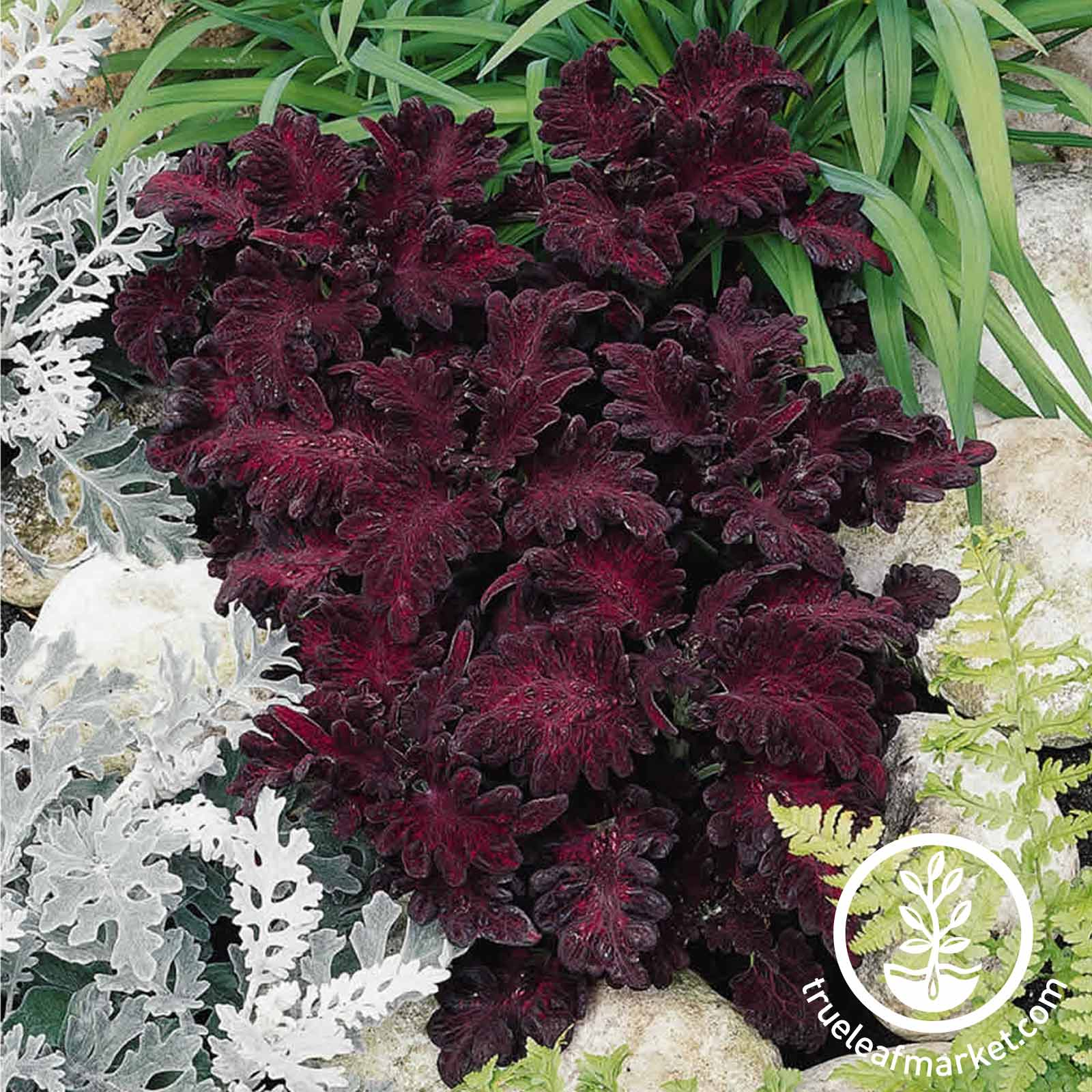 Coleus Black Dragon Plant Seed