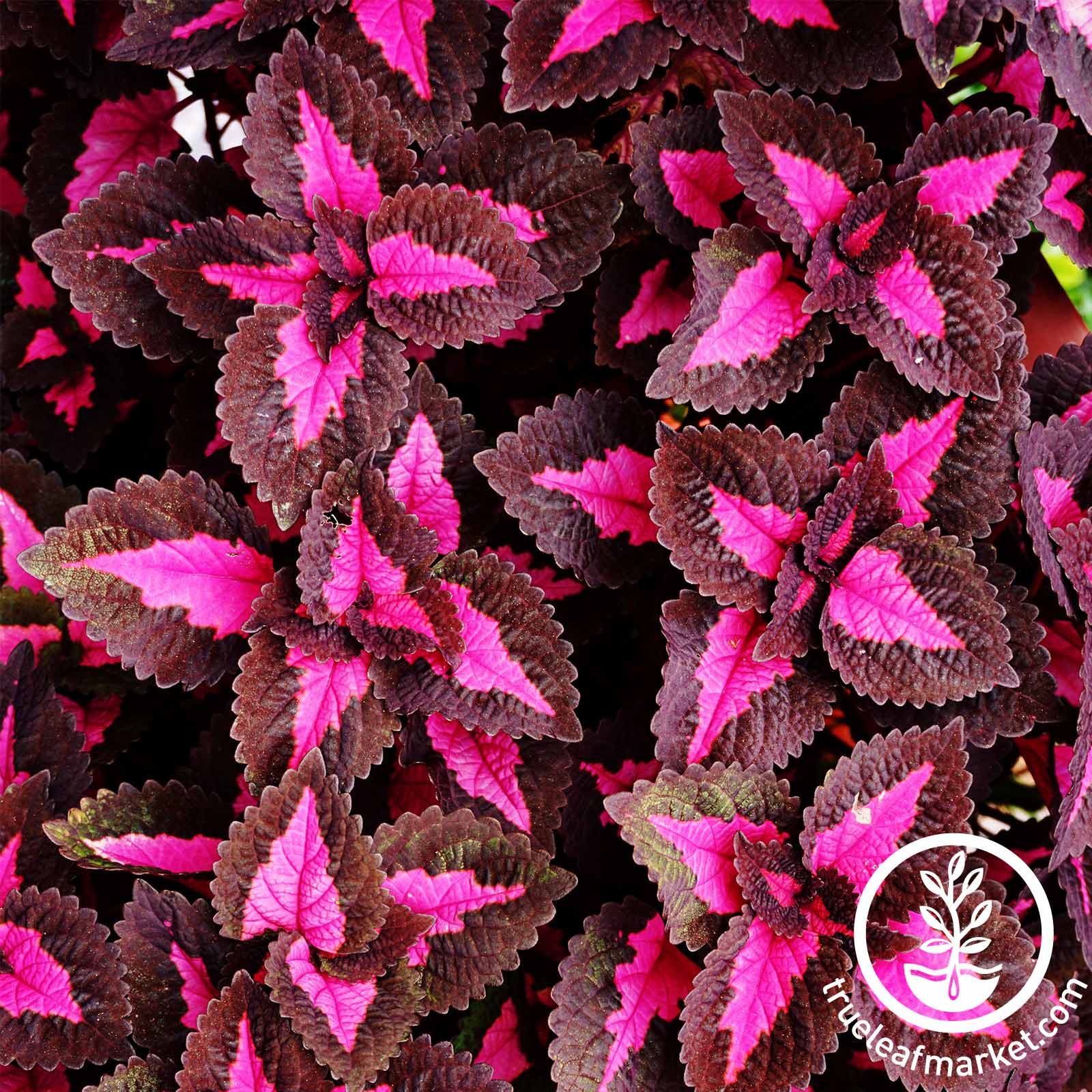 Coleus Chocolate Covered Cherry Seed