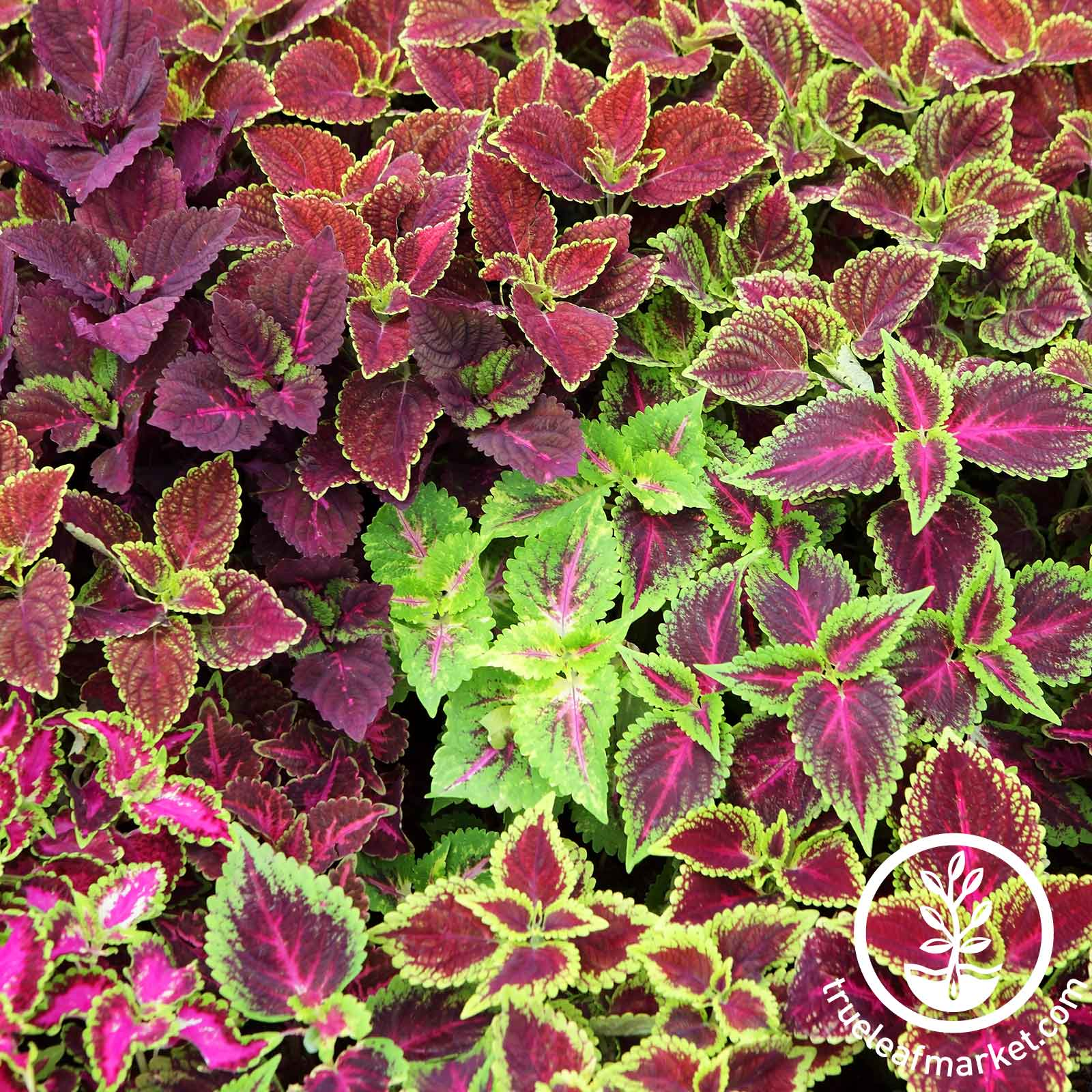 Coleus - Jazz Combo Mix