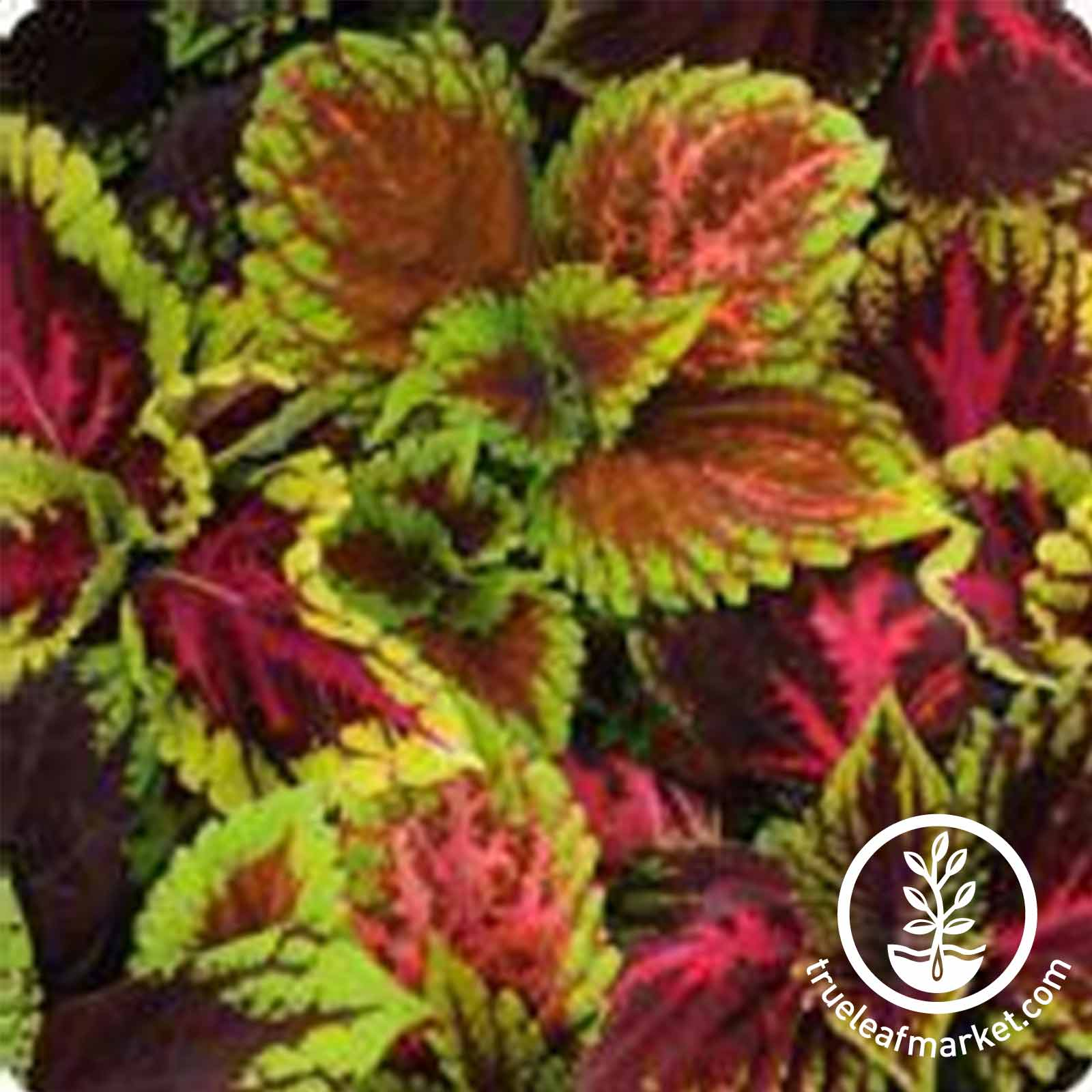 Coleus Kong Series Empire Mix Seed