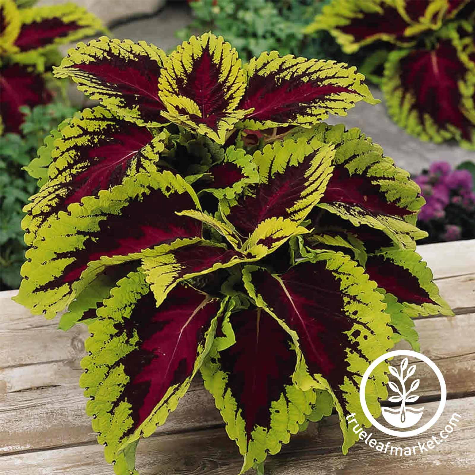Coleus - Kong Series - Rose