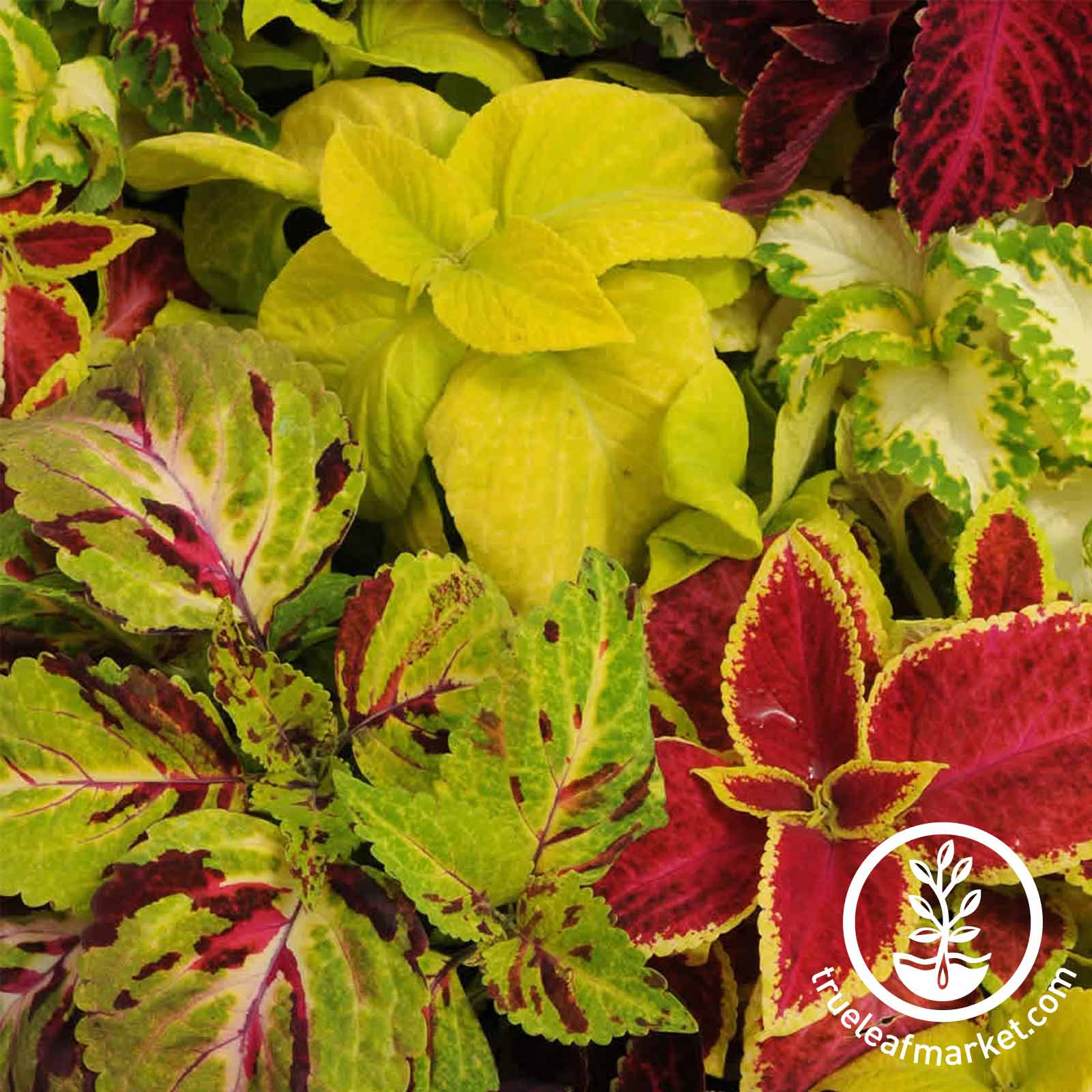 Coleus Rainbow Mixture Seed