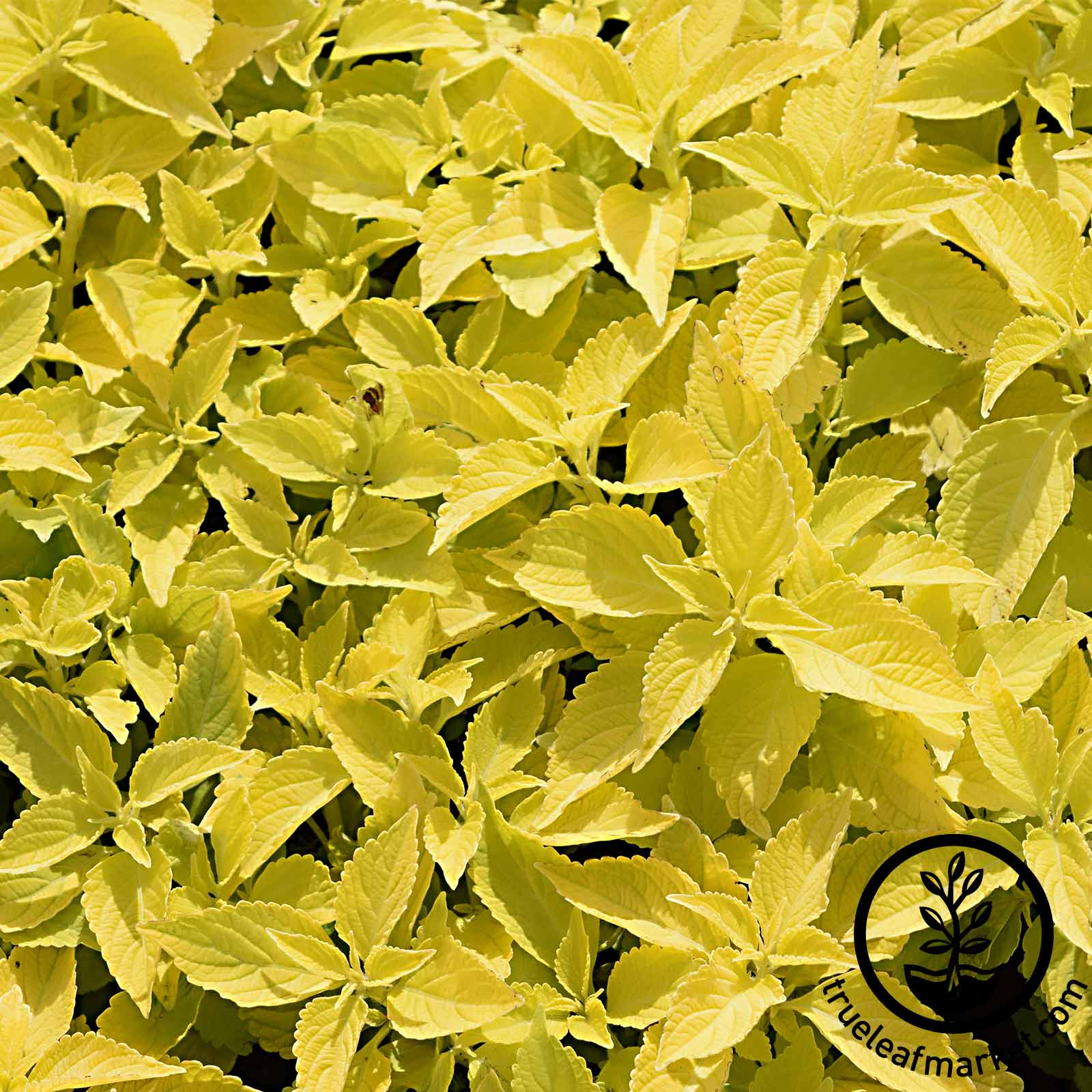Coleus Wizard Series Golden Seed