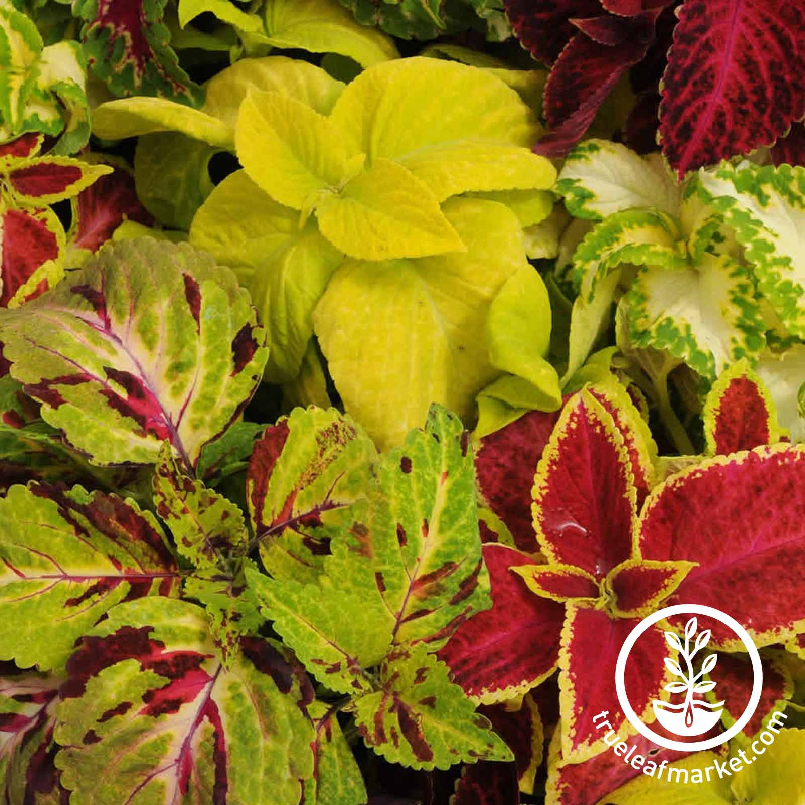 Coleus Wizard Series Mix Seed