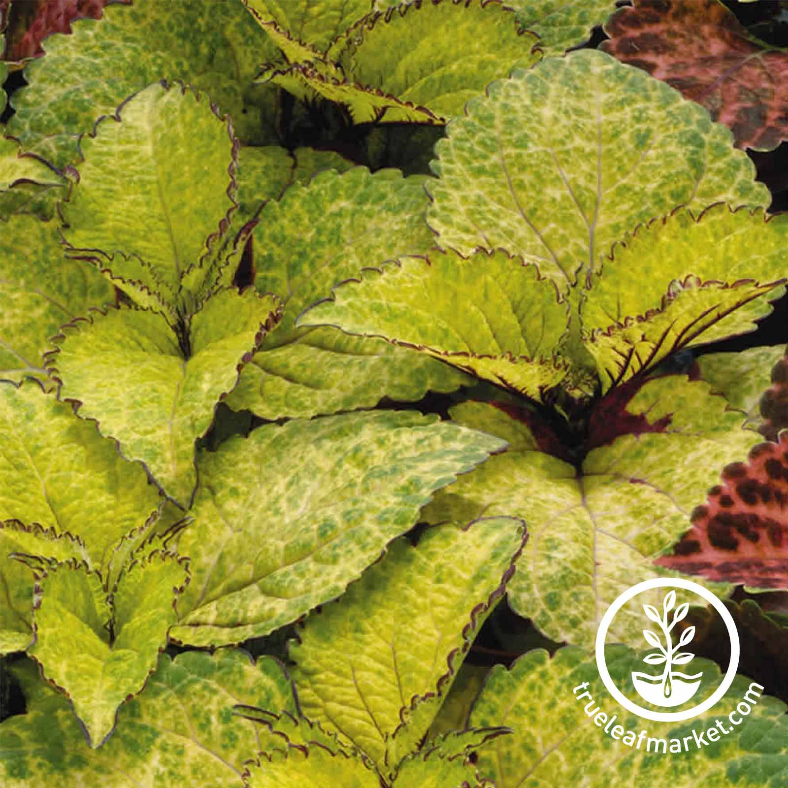 Coleus Wizard Series Pineapple Seed