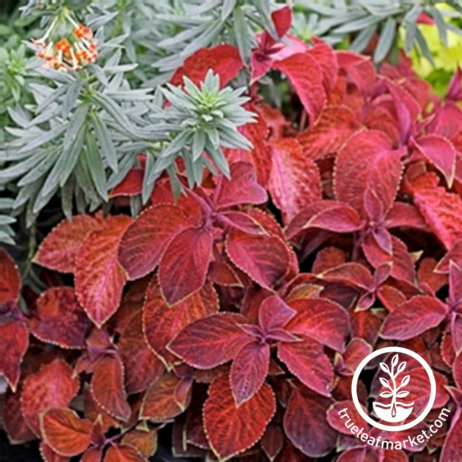 Coleus Wizard Sun Series Sunset Seed