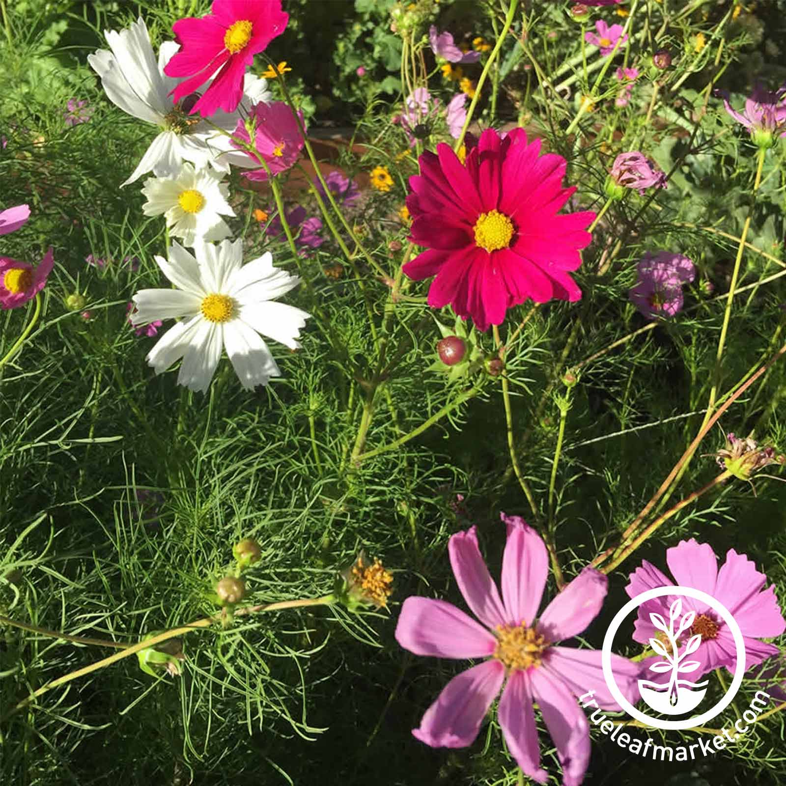 Cosmos Sensation Mixture Flower Seed