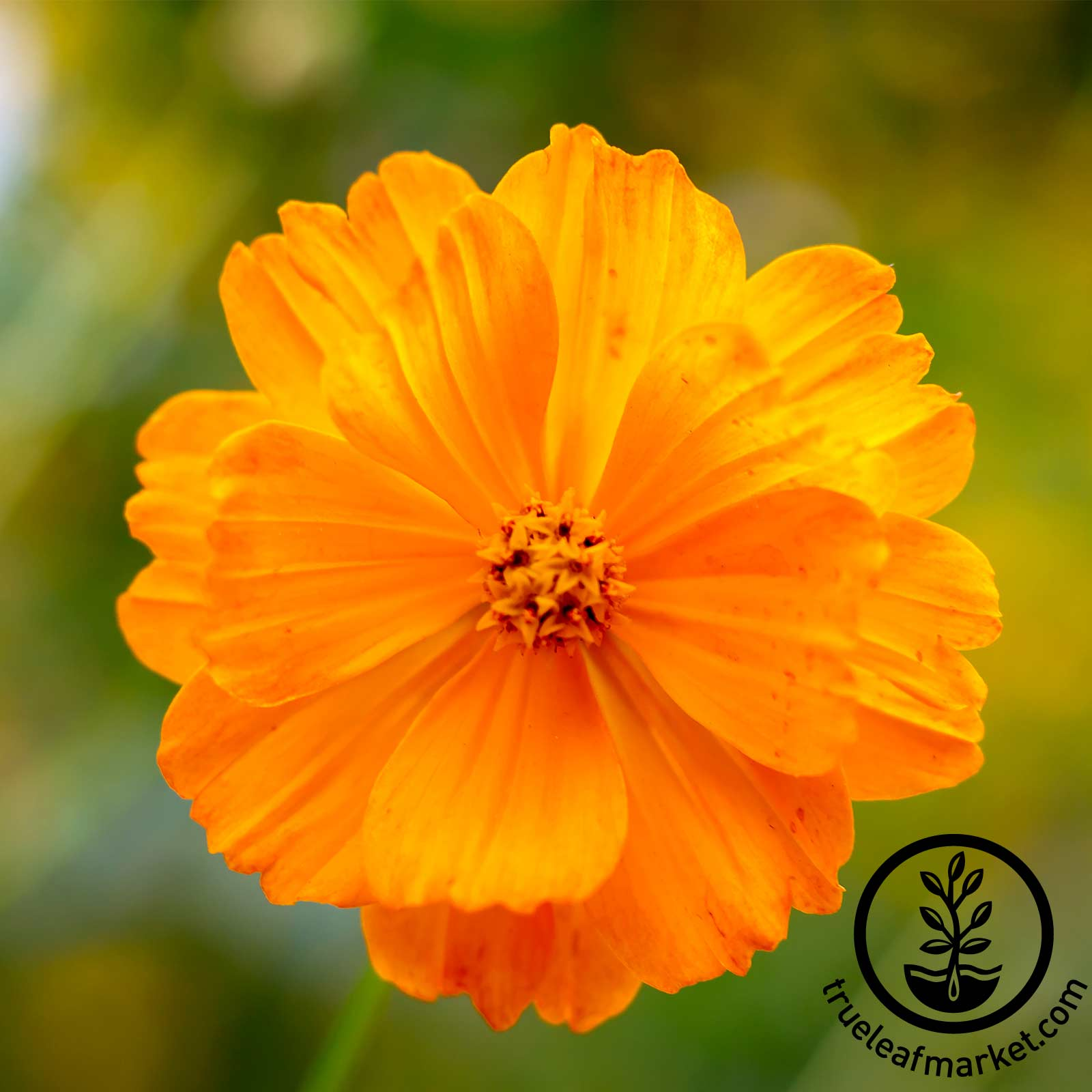 Cosmos Sunny Series Orange Seed
