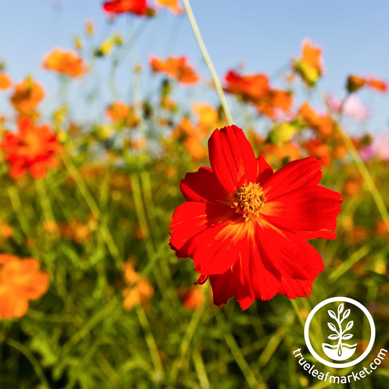 Cosmos Sunny Series Red Seed