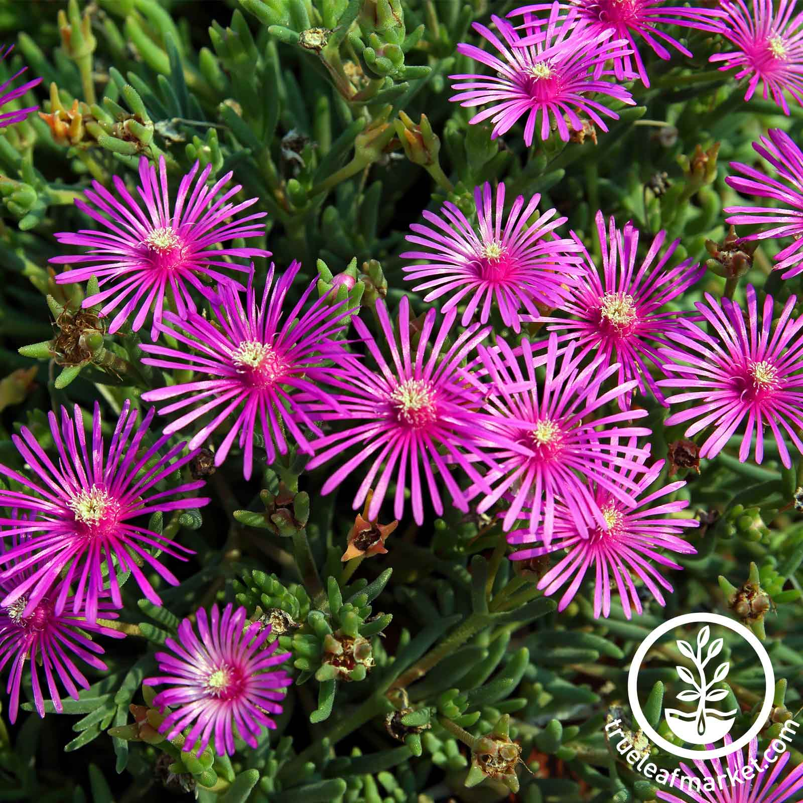 Delosperma Ice Plant Flower Seeds