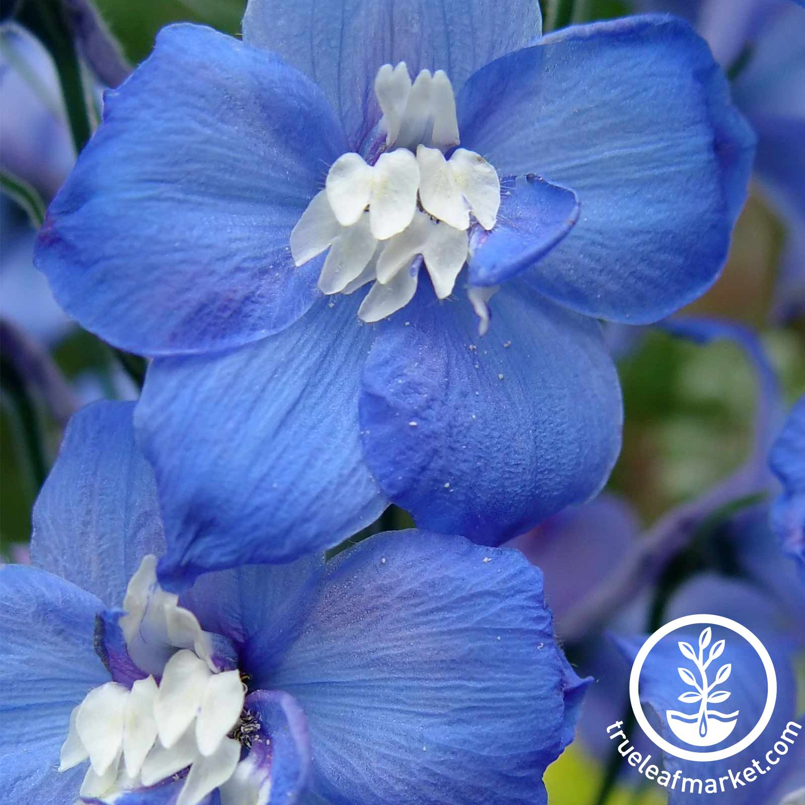 Delphinium Flower - Magic Fountain - Dark Blue White Bee