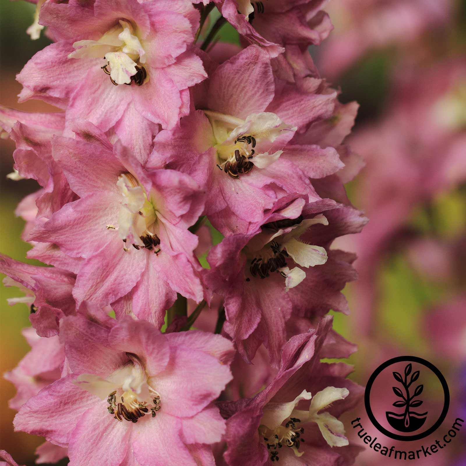 Delphinium Pacific Giant Series Astolat Seed