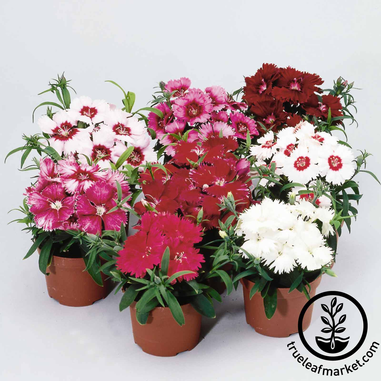 Dianthus Diana Series Mix Seed