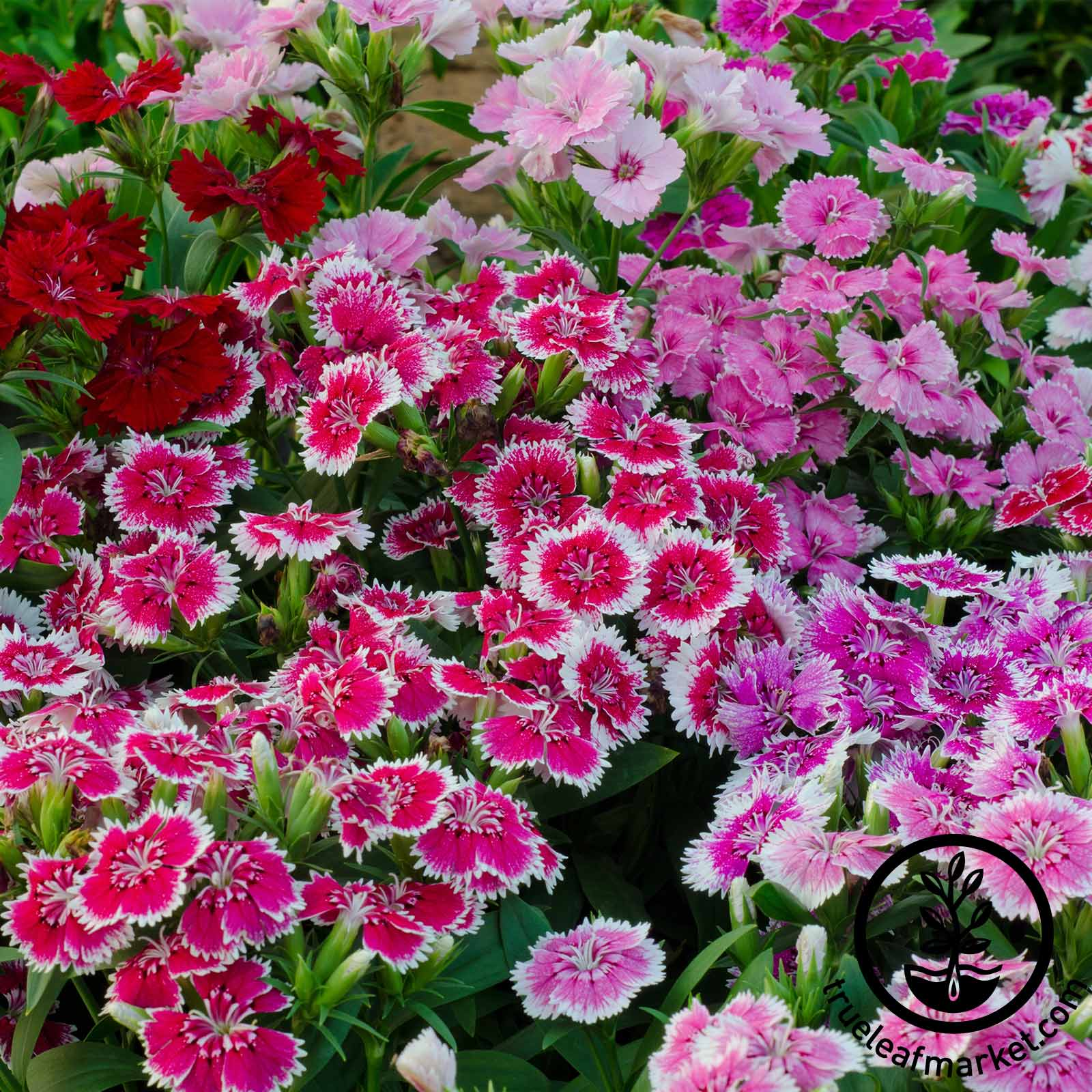 Dianthus Floral Lace Series Mix Seed