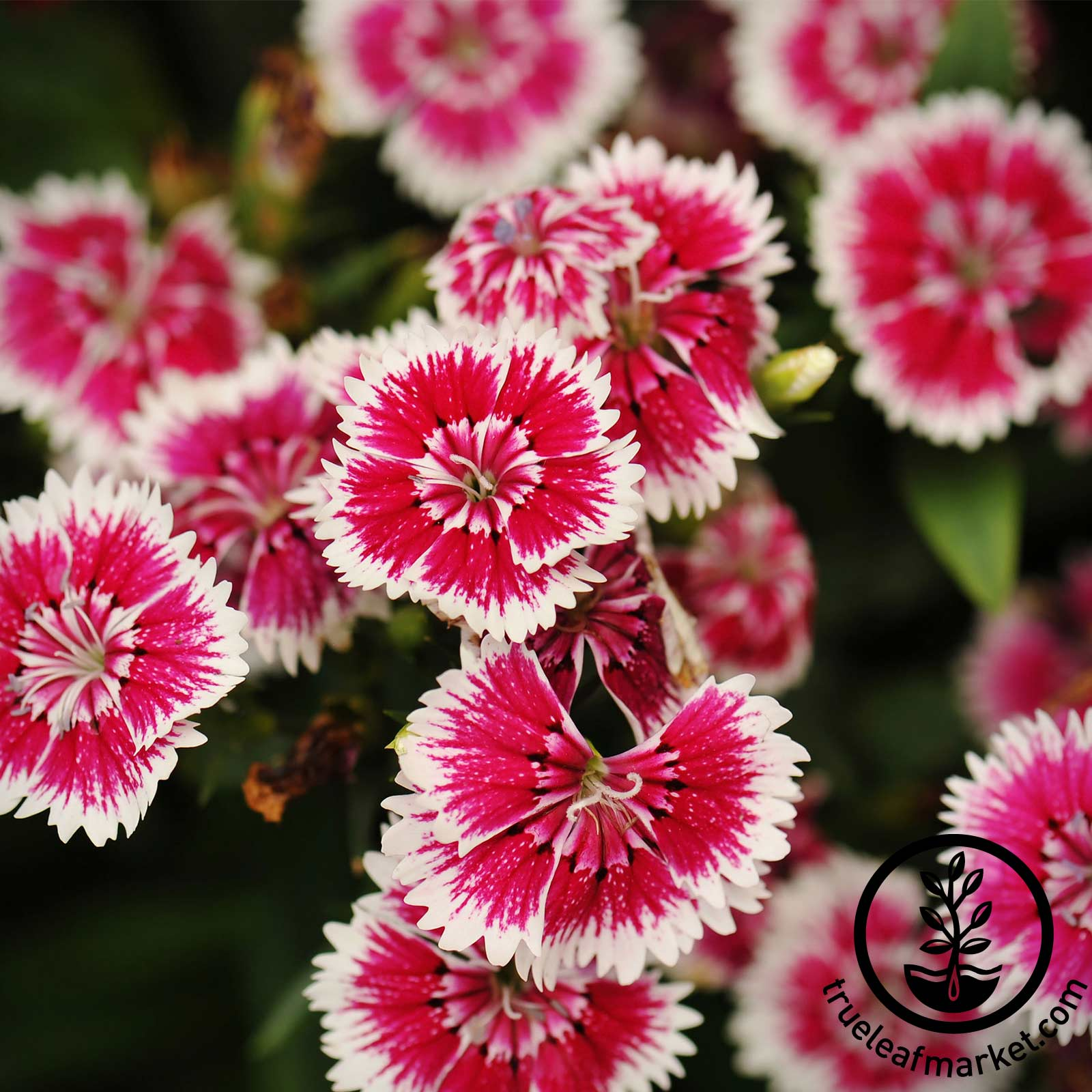 Dianthus - Floral Lace Series - Picotee (rose with white edge)