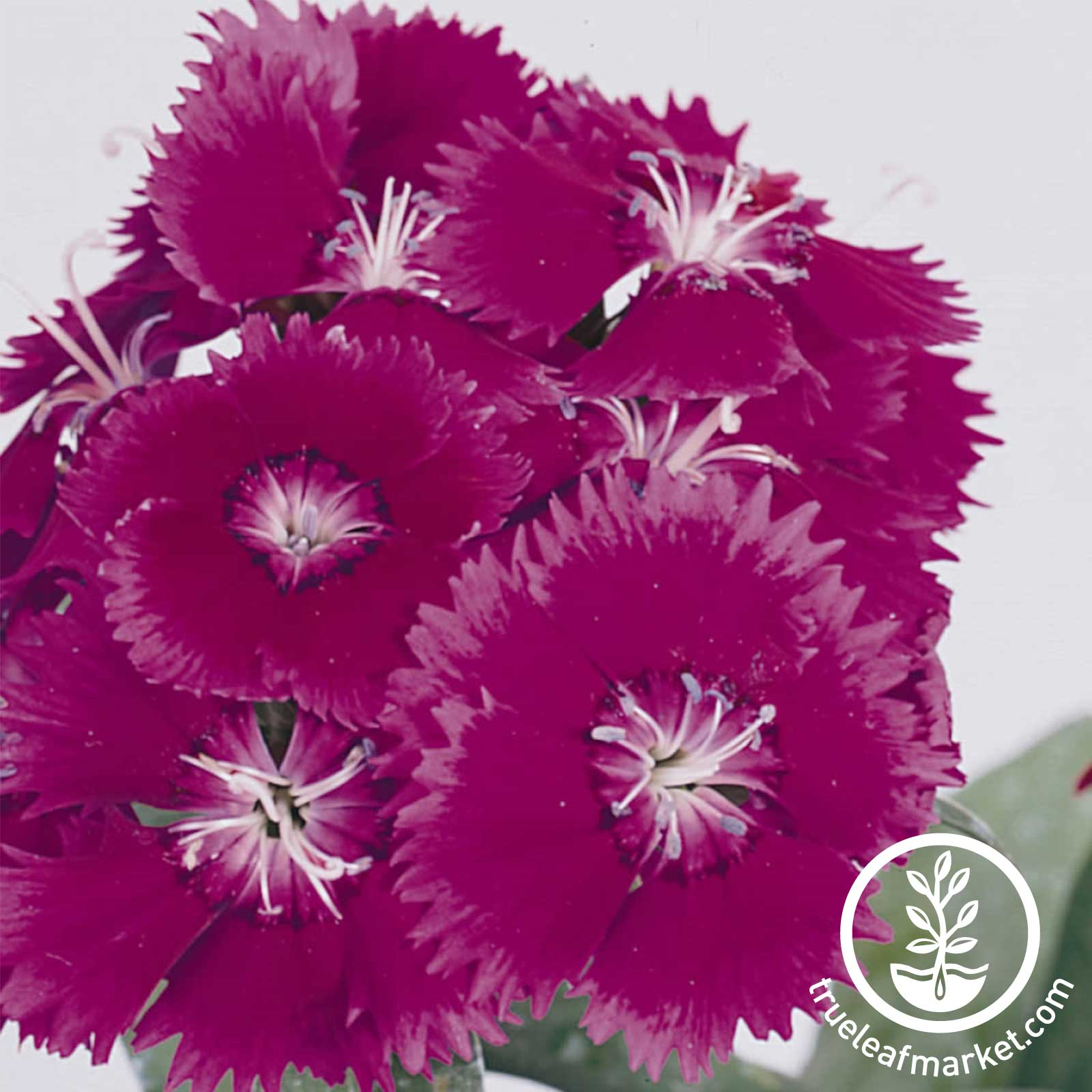 Dianthus Floral Lace Series Purple Seed