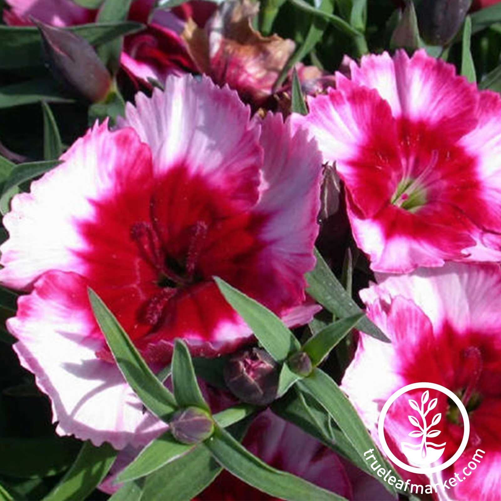 Dianthus Super Parfait Series Raspberry Seed