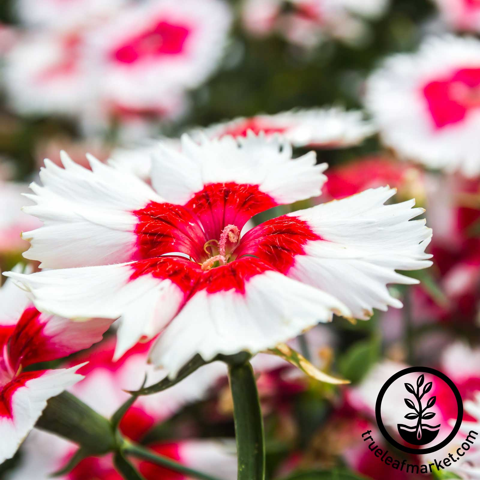 Dianthus Super Parfait Series Red Peppermint Seed