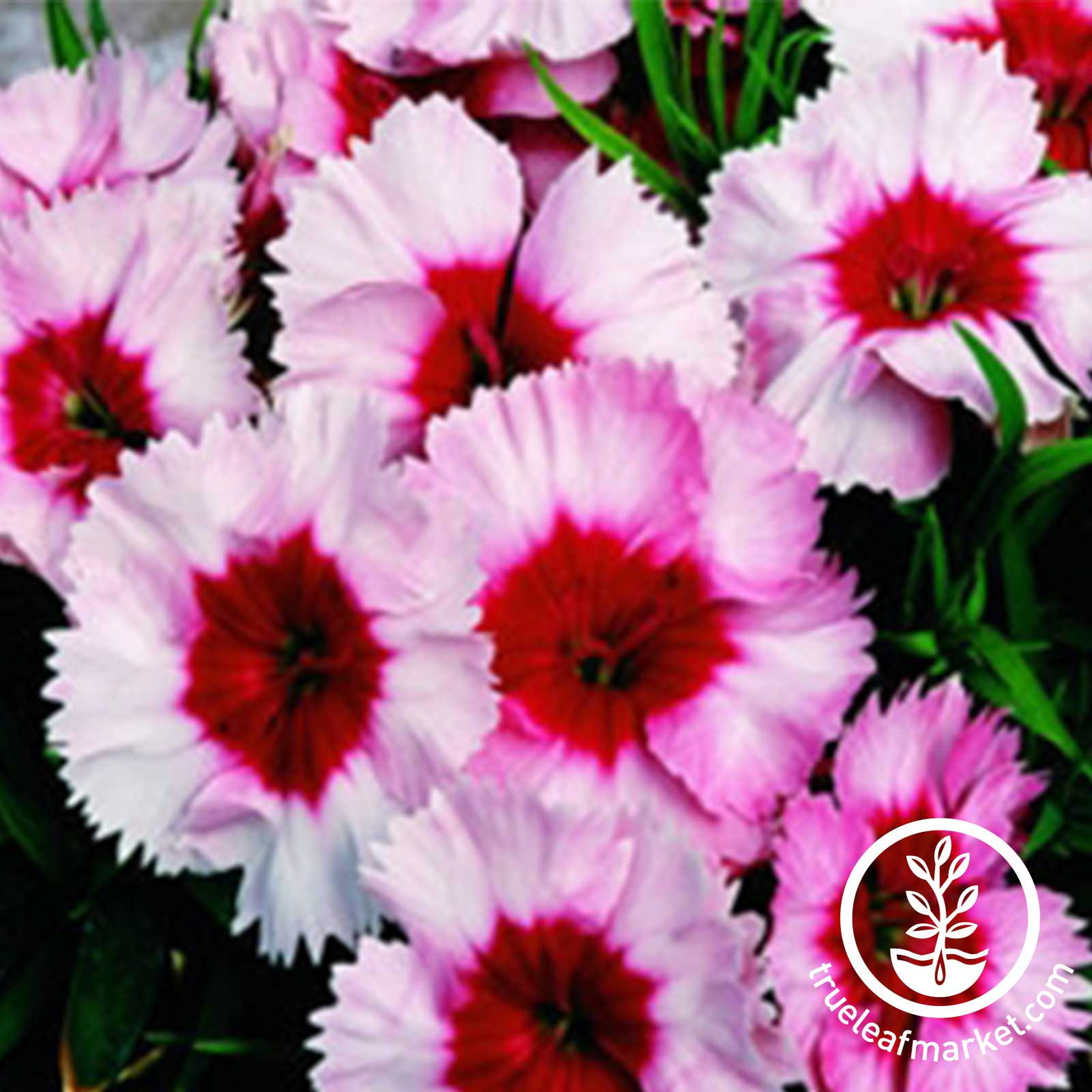 Dianthus Super Parfait Series Strawberry Seed