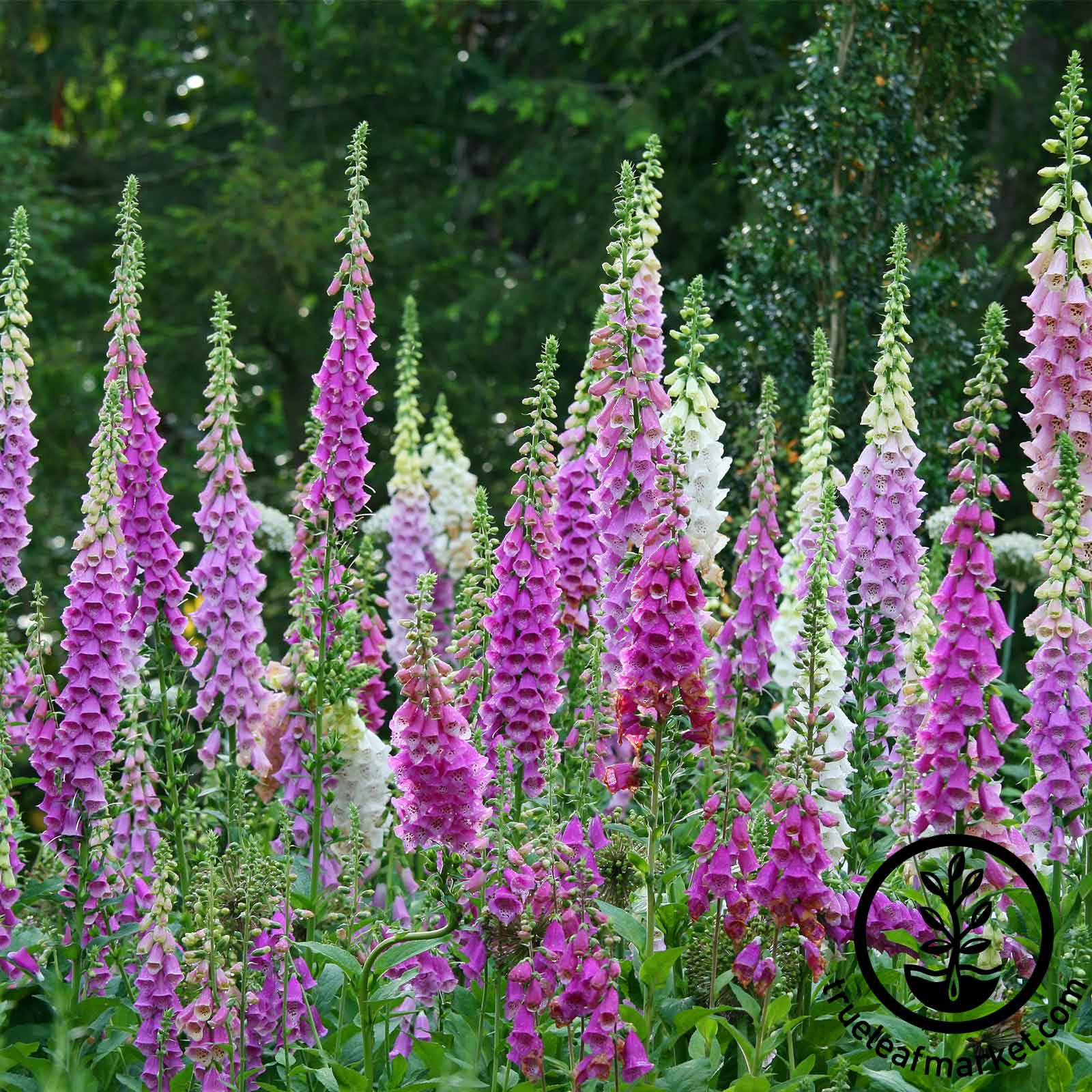 Digitalis Foxglove Mixed Color Seed
