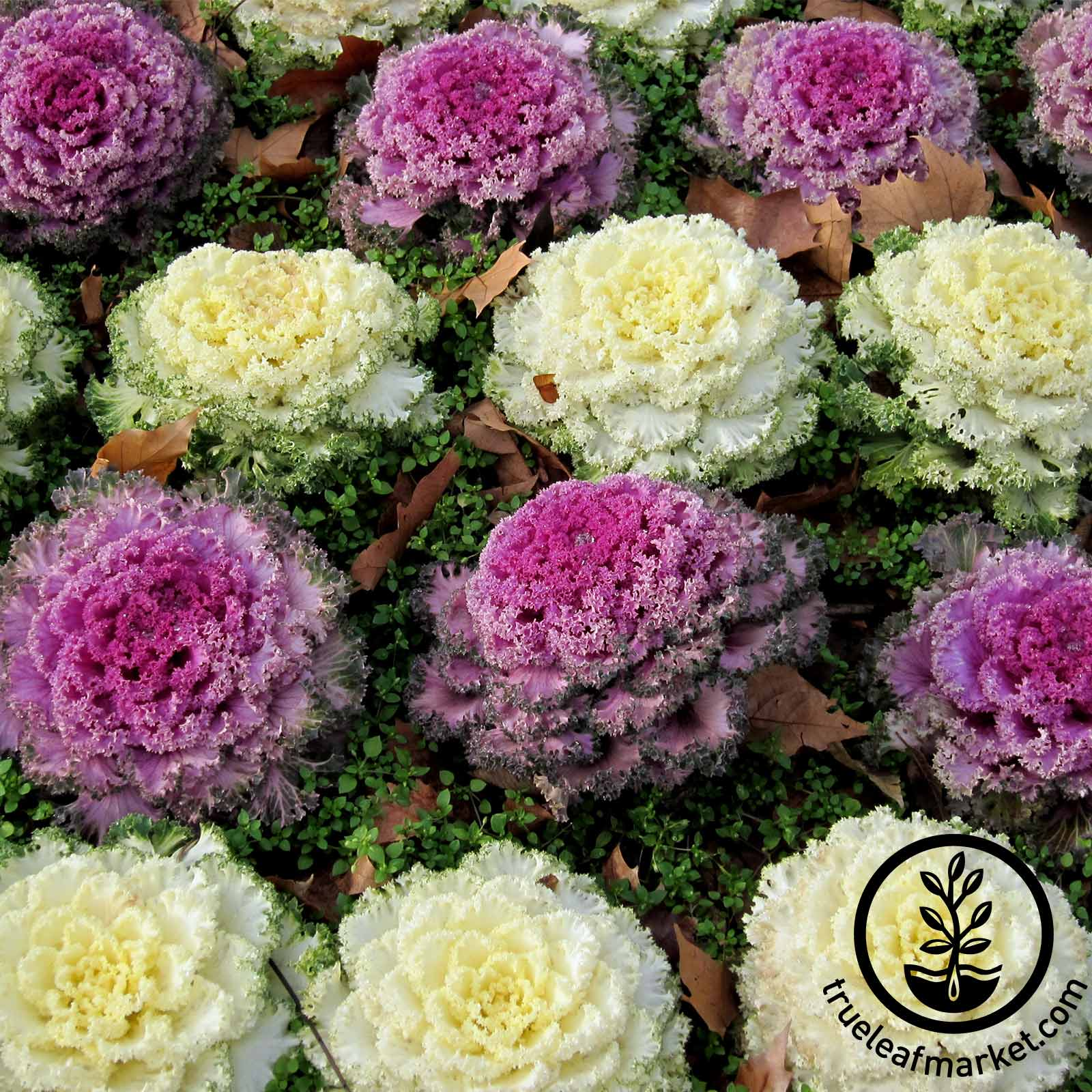 Flowering Cabbage Osaka Series Mix Seed