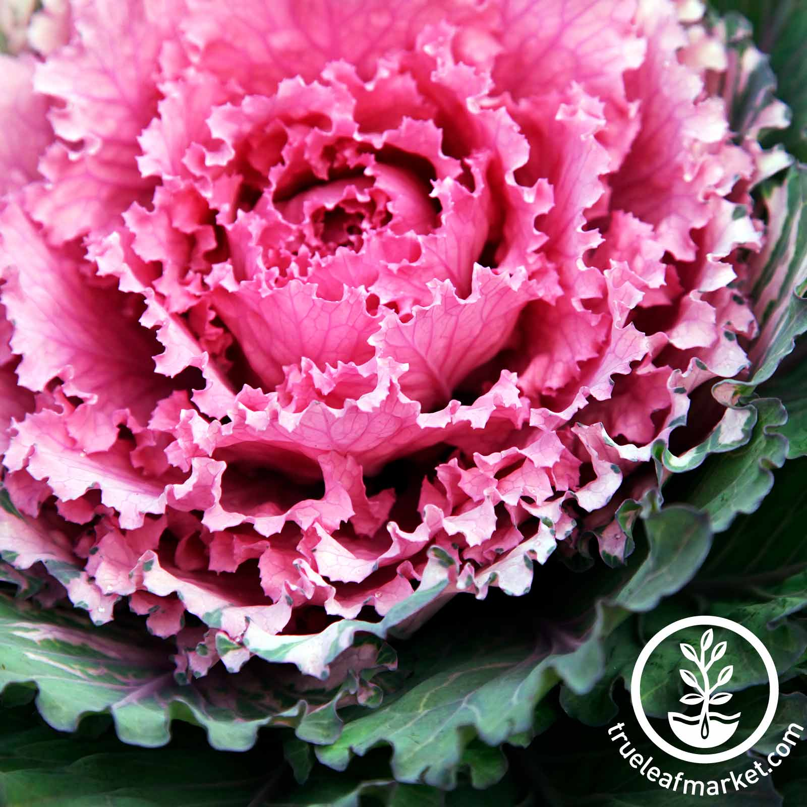 Flowering Cabbage Osaka Series Pink Seed