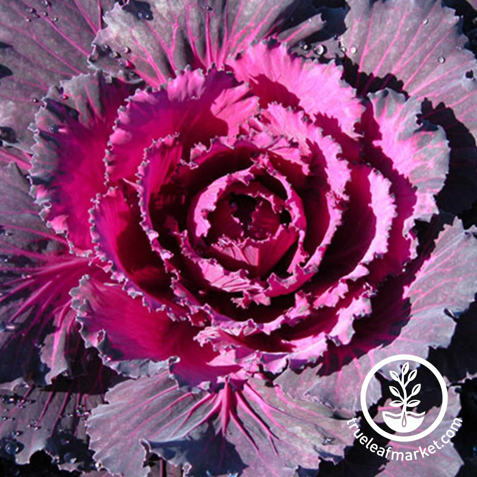 Flowering Cabbage Osaka Series Red Seed
