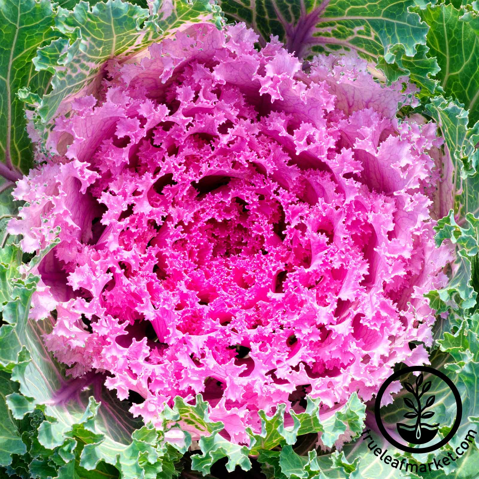 Flowering Kale Kamome Series Pink Seed