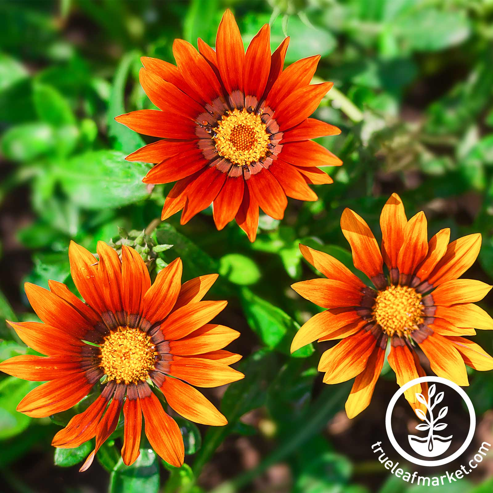 Gazania New Day Series Bronze Shades Seed